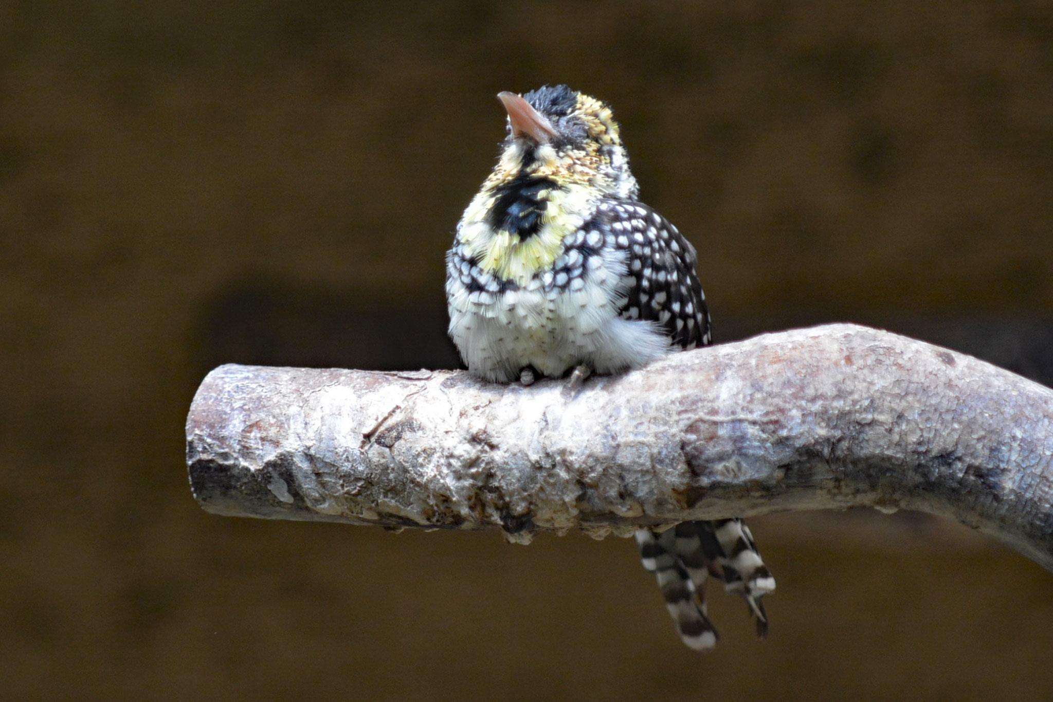 Ohrfleck - Bartvogel