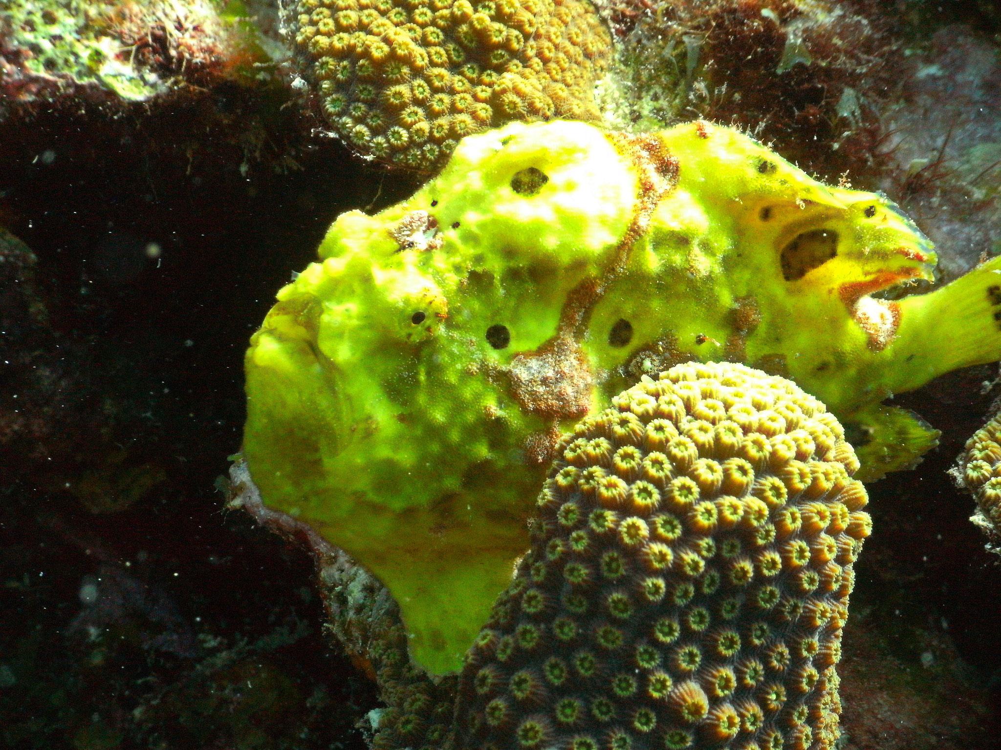 Frogfisch-urlaub-curacao-ferienhaus-pool-karibik