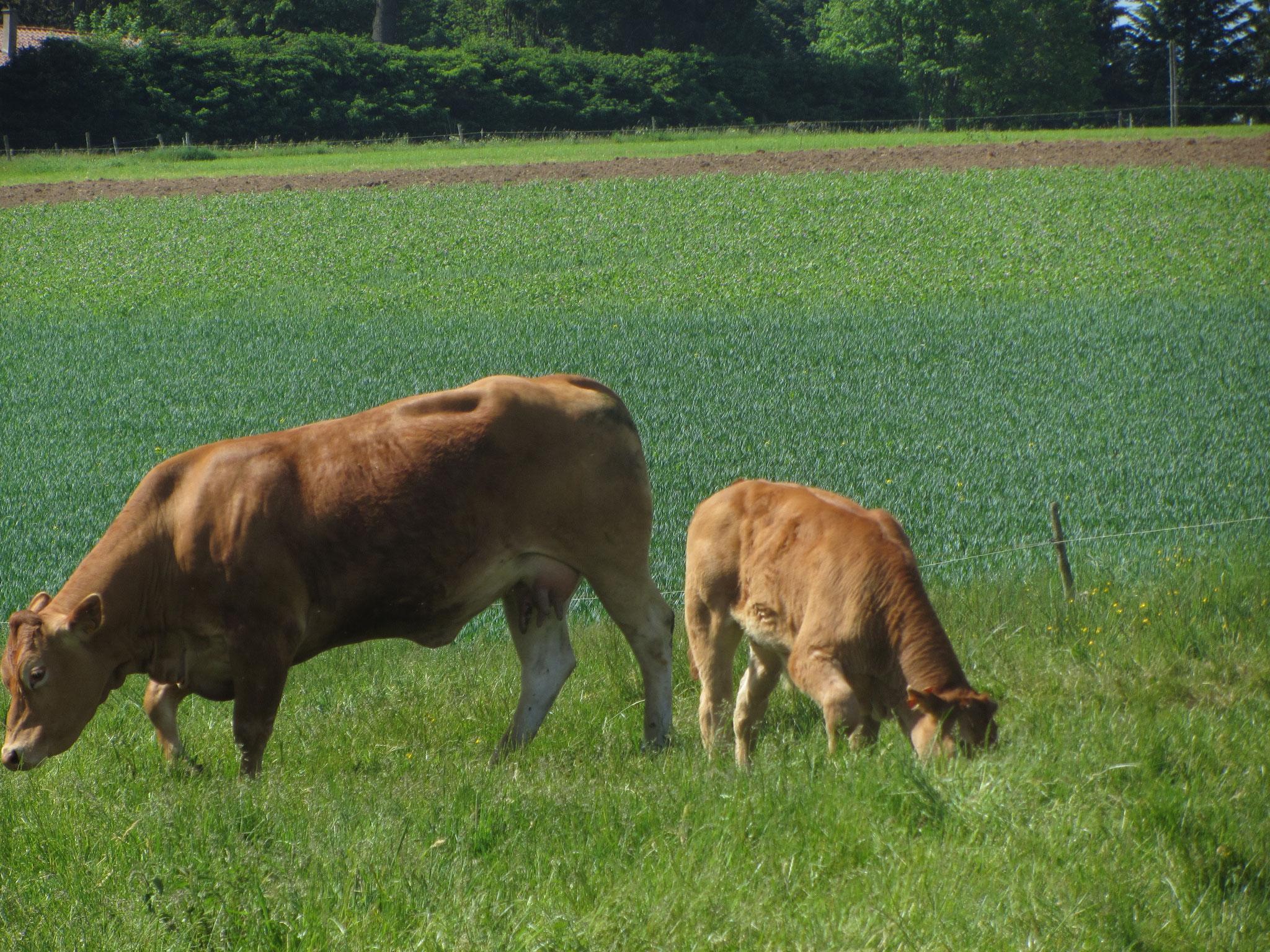 L'herbe des pâturages