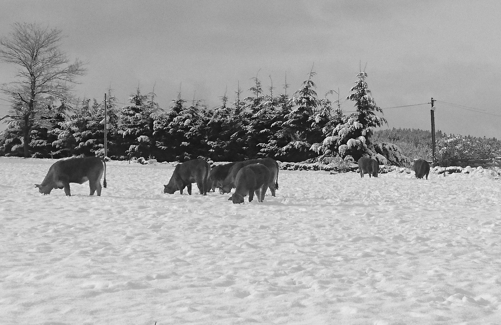 Les vaches dans la neige