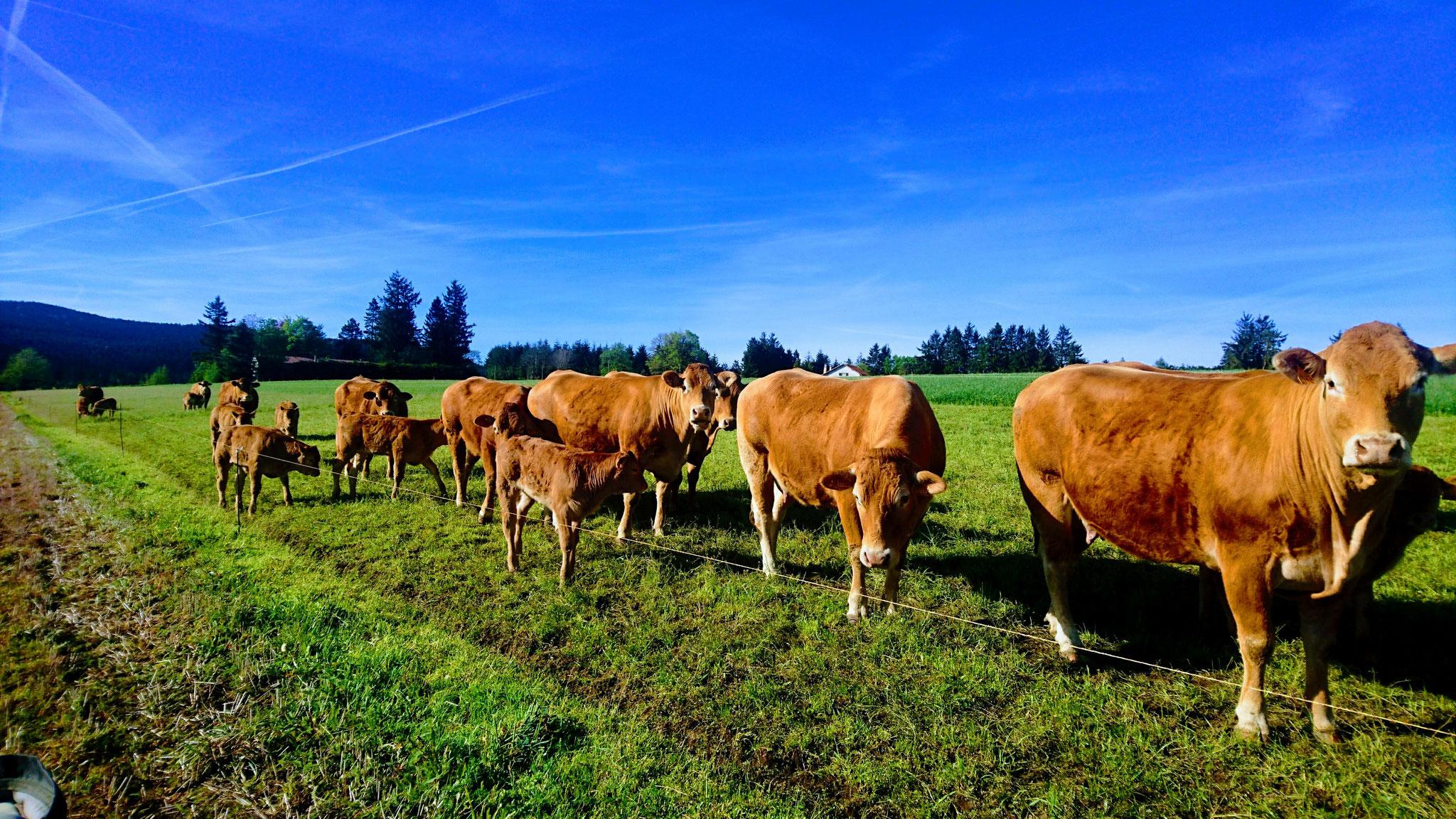 Le troupeau à Saint Genest Malifaux