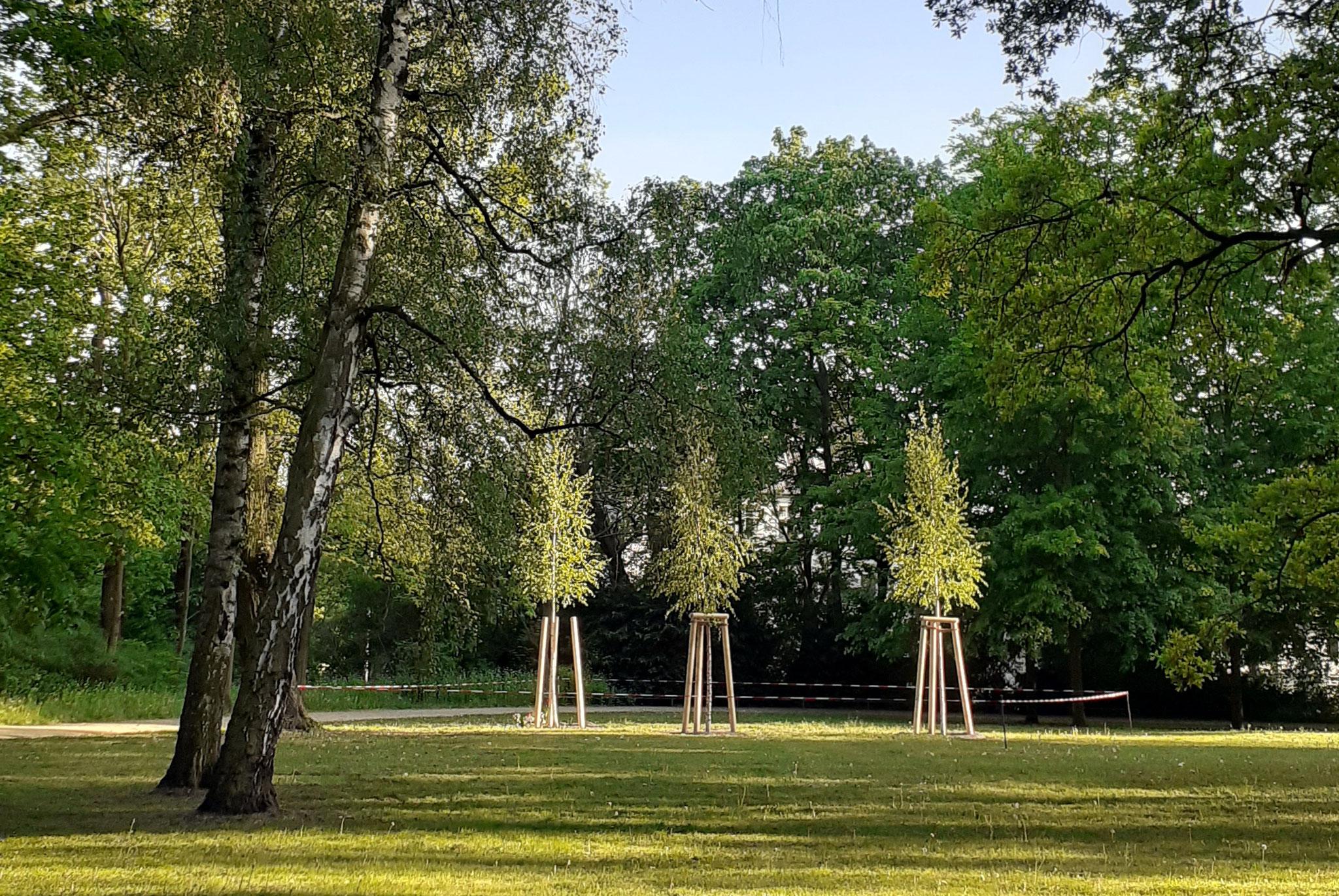 Ein Birkenhain aus drei jungen Bäumen erinnert seit vergangener Woche an den ehemaligen sowjetischen Friedhof. © Heinrich Niemann