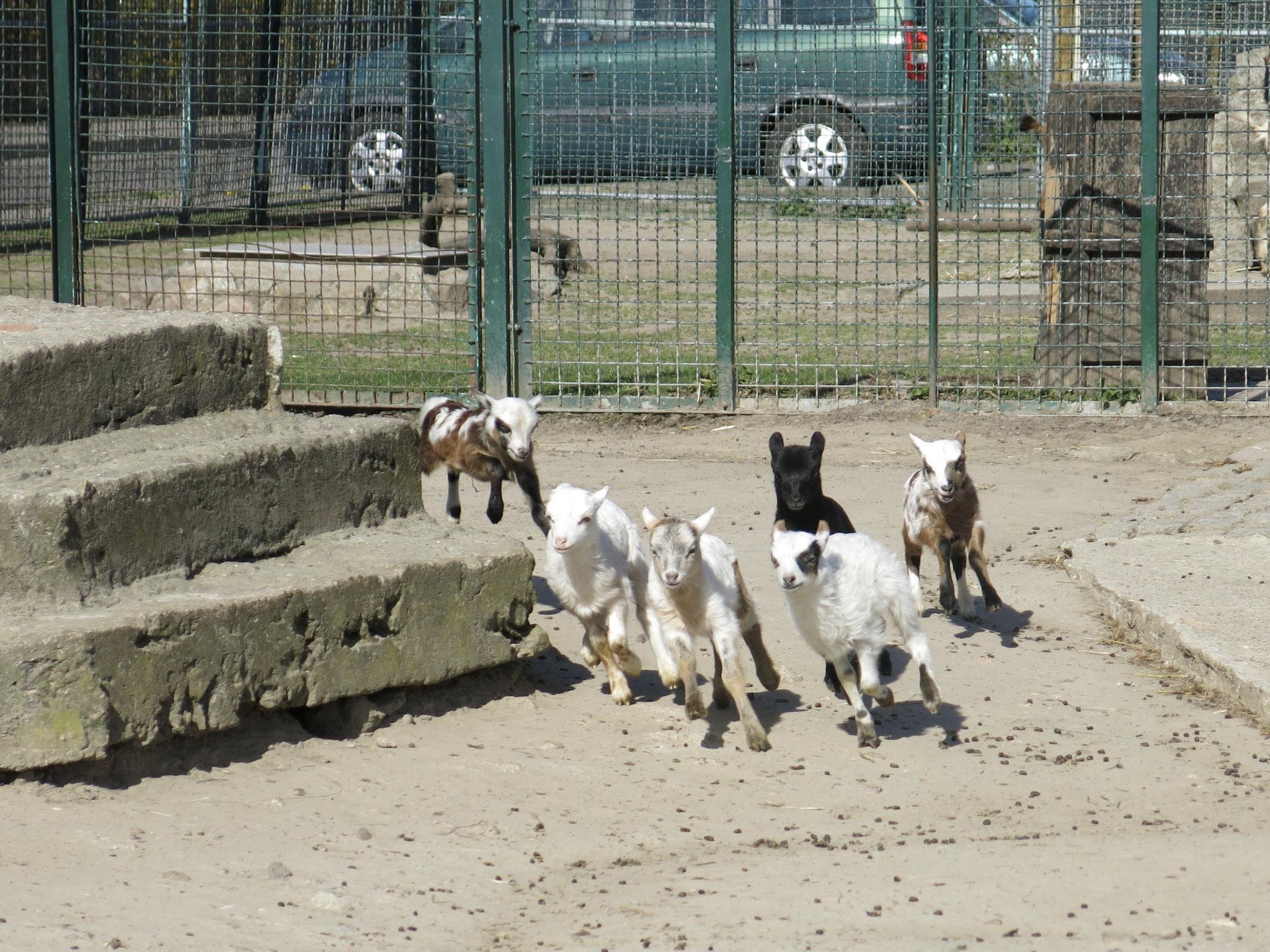 Tipp 10: Alt-Marzahn: Richtig was los ist in diesen Tagen in den Gehegen des Tierhofs Alt-Marzahn, wo viele kleine Zicklein und Lämmer munter durch die Gegend toben.