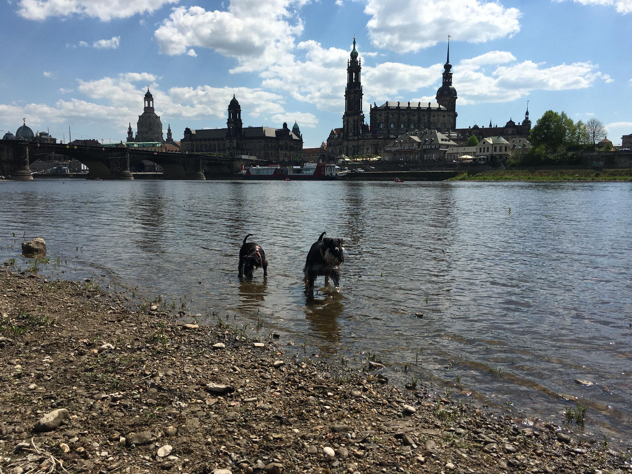 Pia und Brünni in der Elbe in Dresden