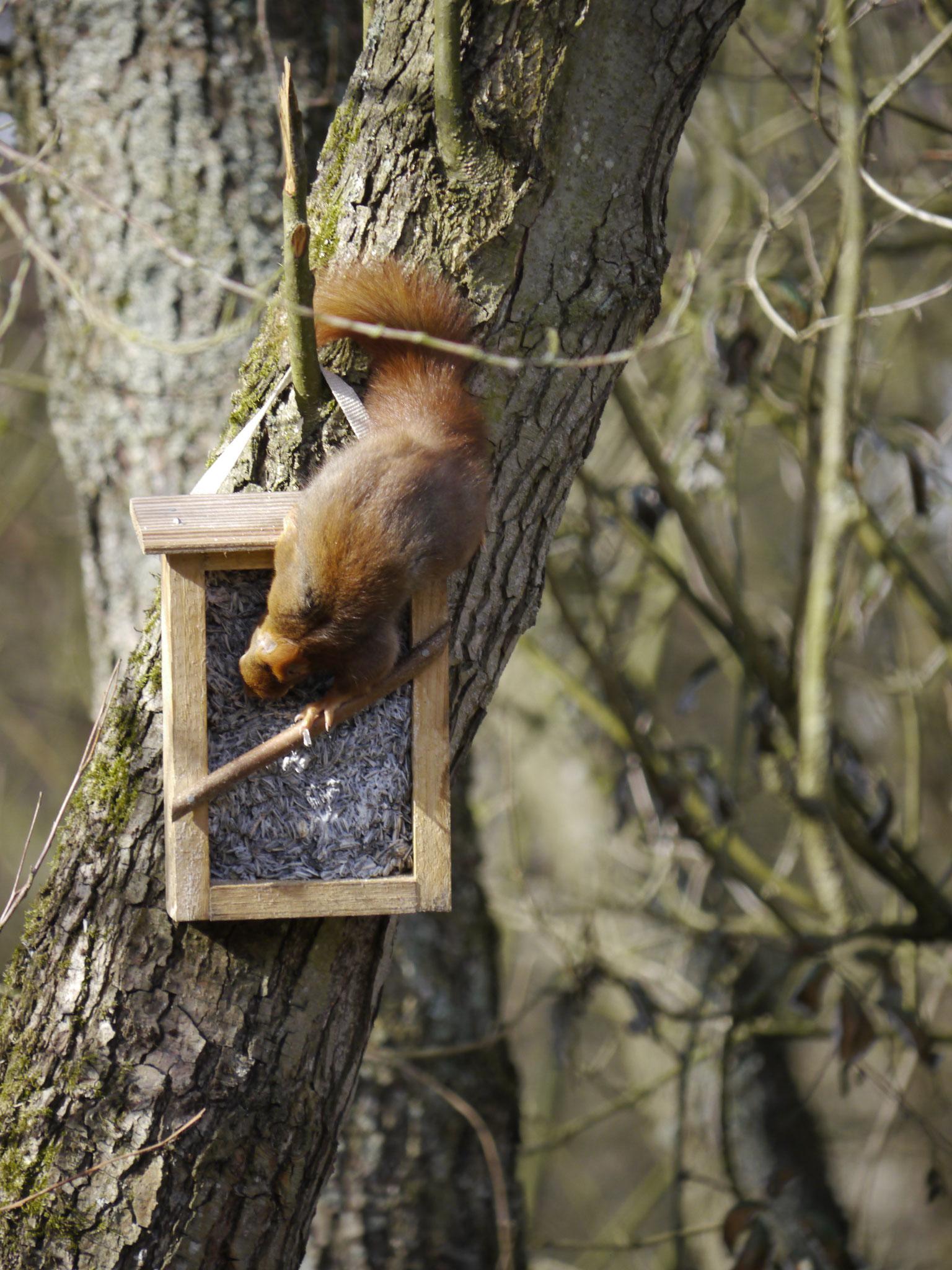 Eichhörnchen (Foto: N. Cahlwatzis)