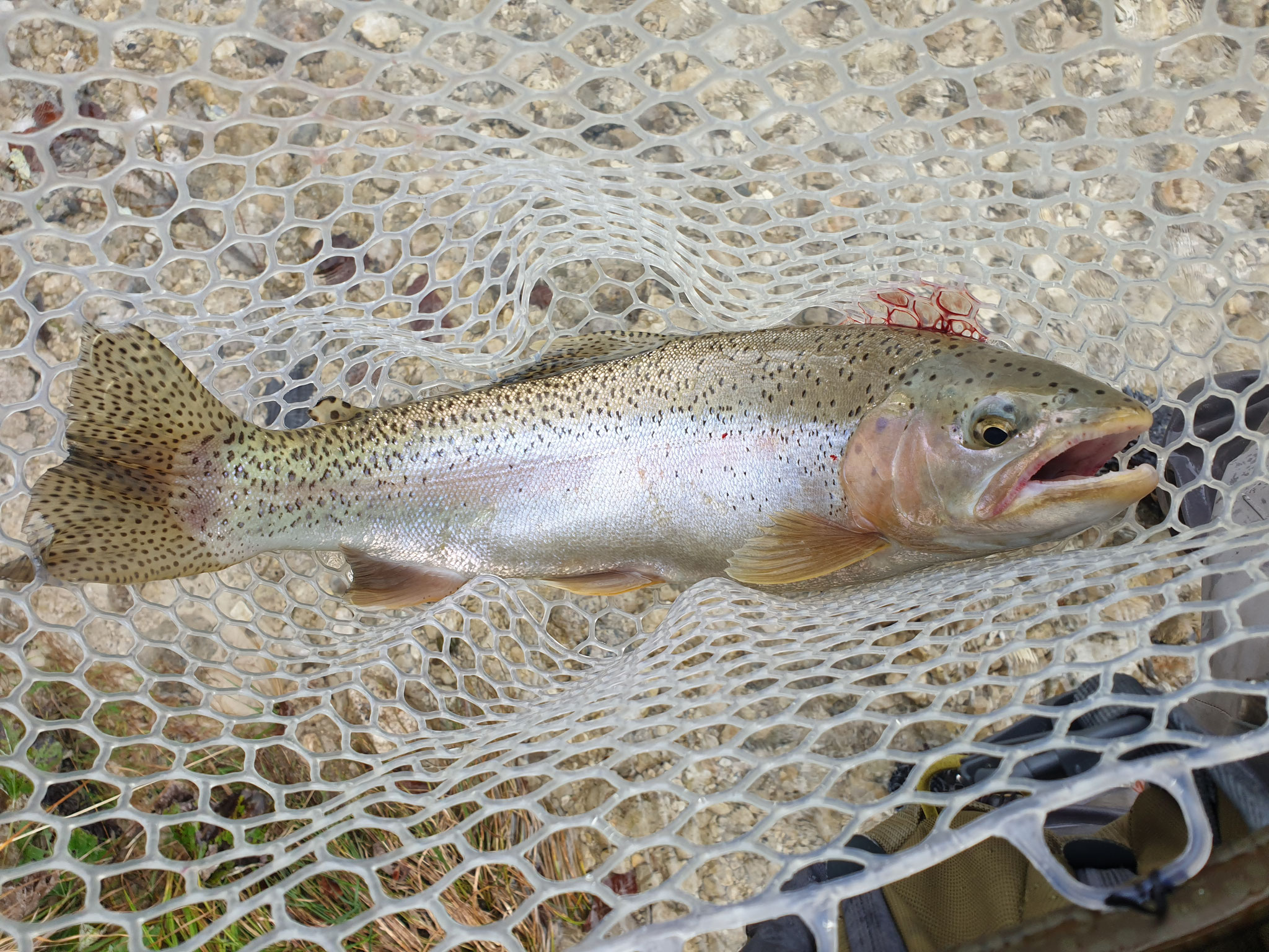 2020.10.18 traumhafter Fischtag an der Alm, Grünau, RB Milchner 60 cm