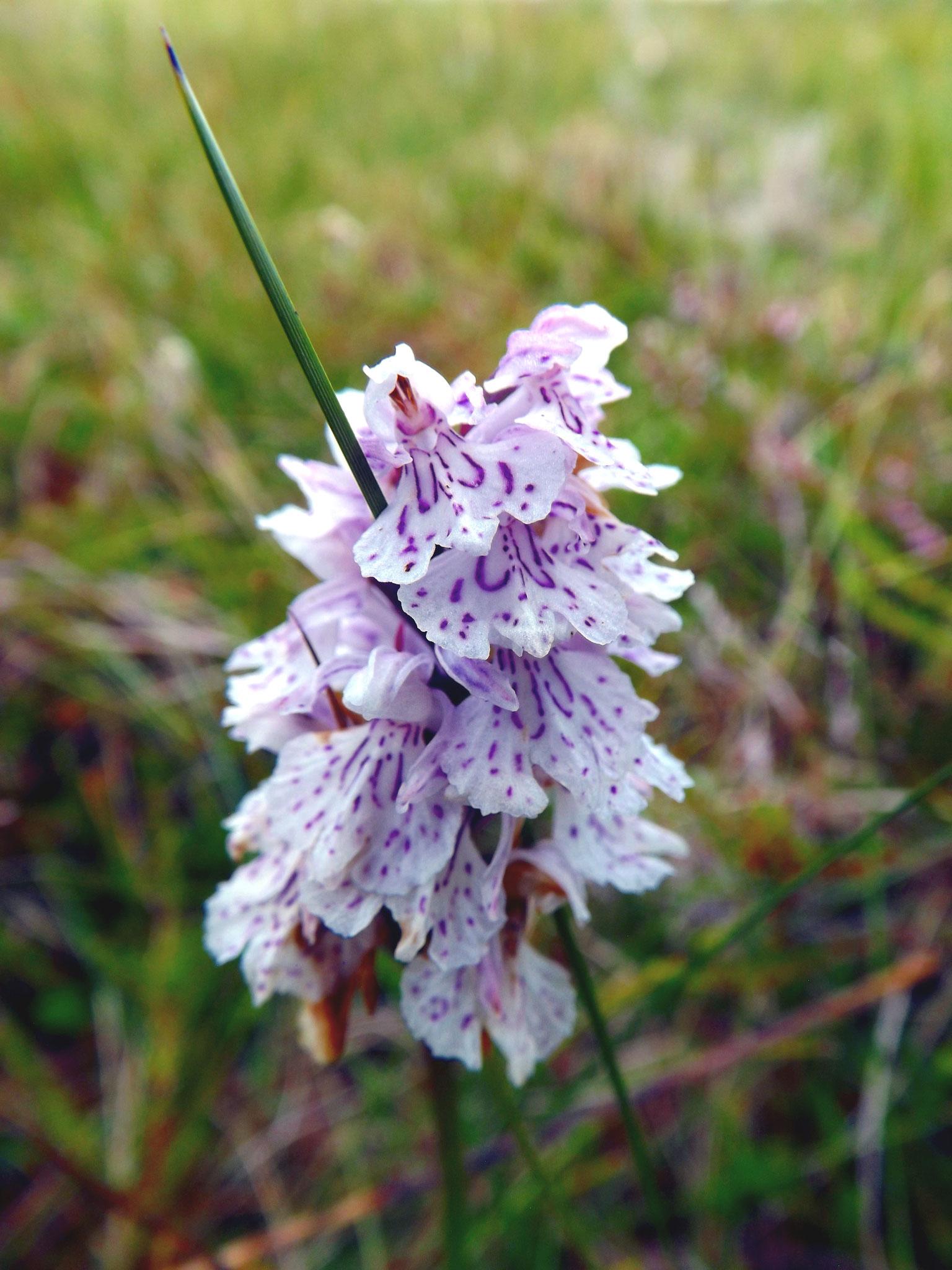 Orchidee, Vandve