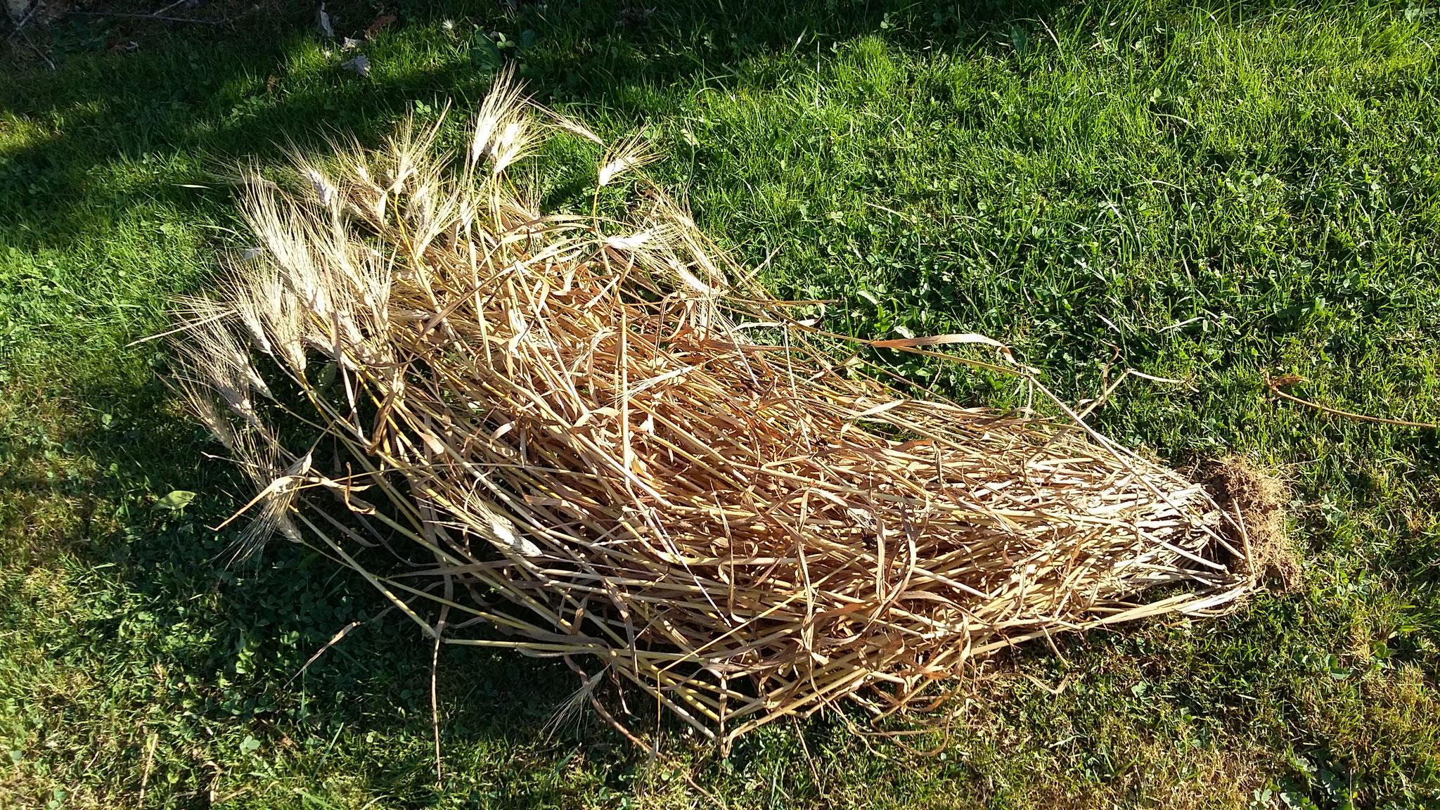 Miracle du blé jardiné: 100 talles! 500 grains récoltés pour un semé!