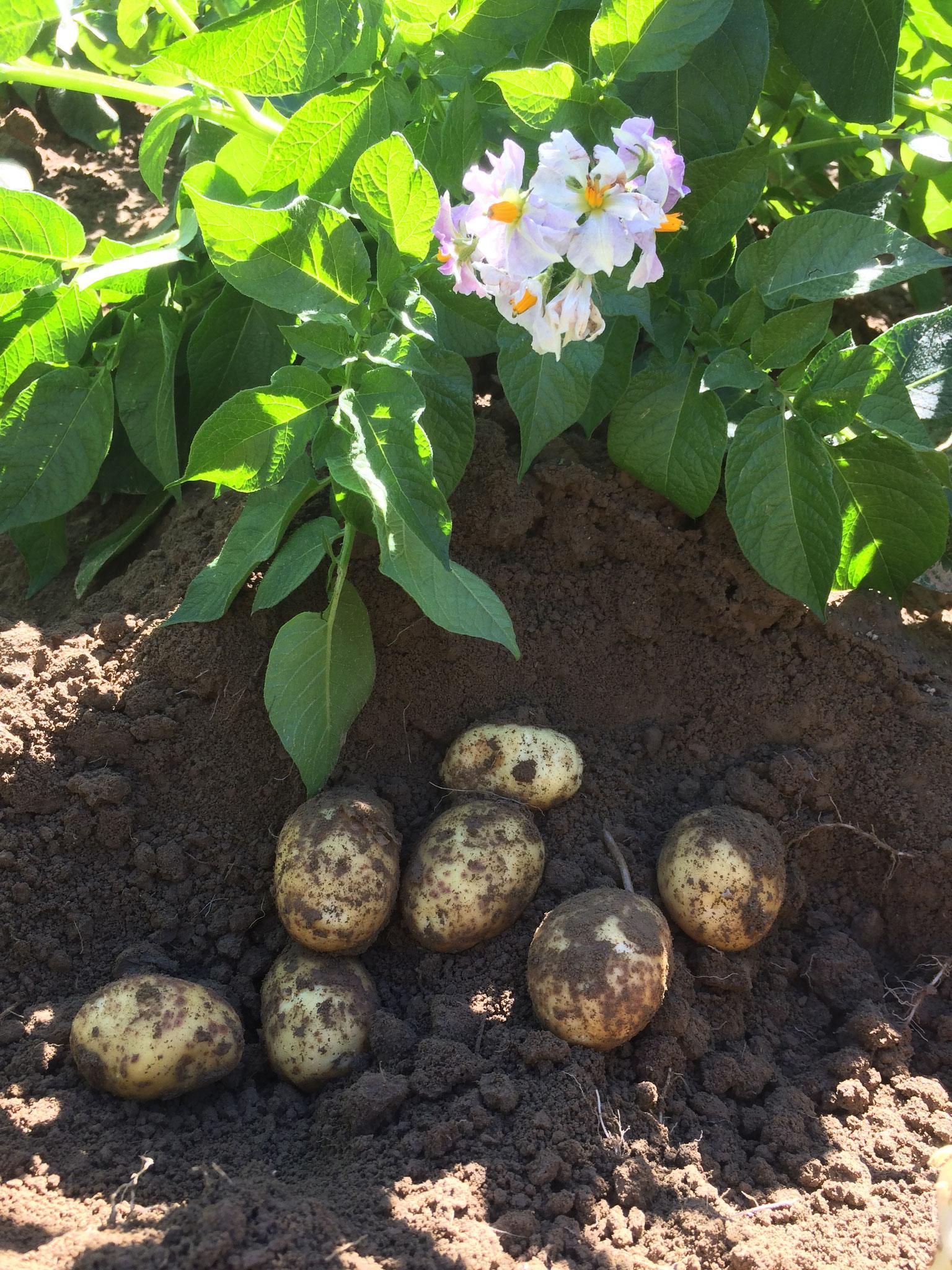 Erste Frühkartoffeln