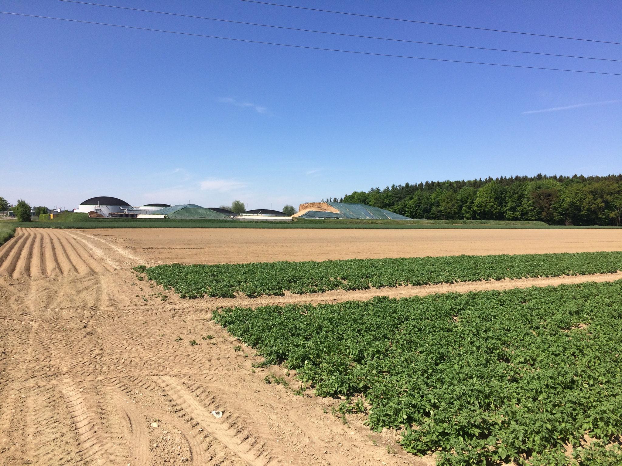 Kartoffelacker, im Hintergrund die gemeinschaftliche Biogasanlage