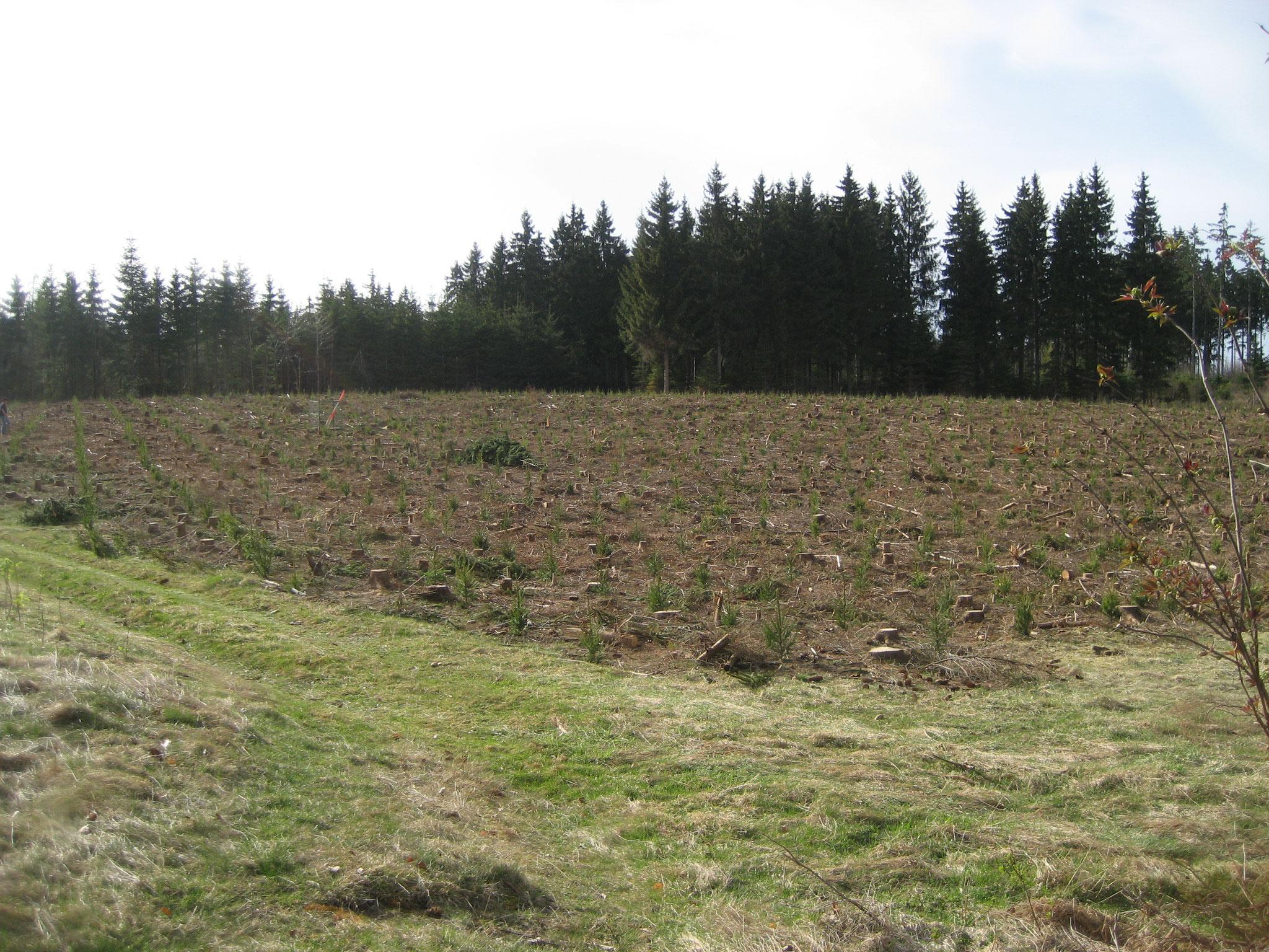 Neue Generation - Fichte-Douglasienmischwald