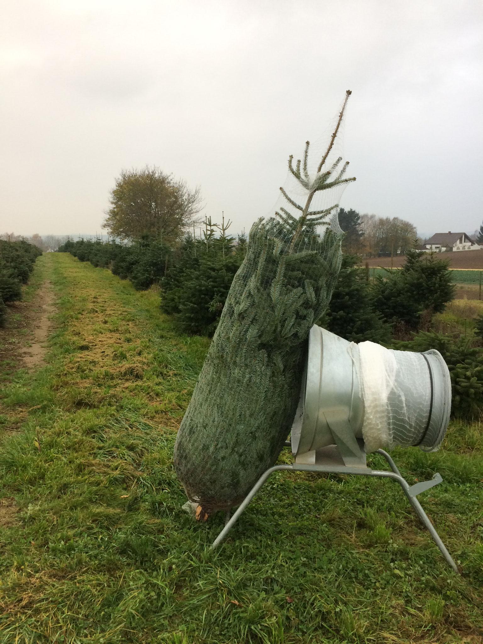 Erster Baum der Saison