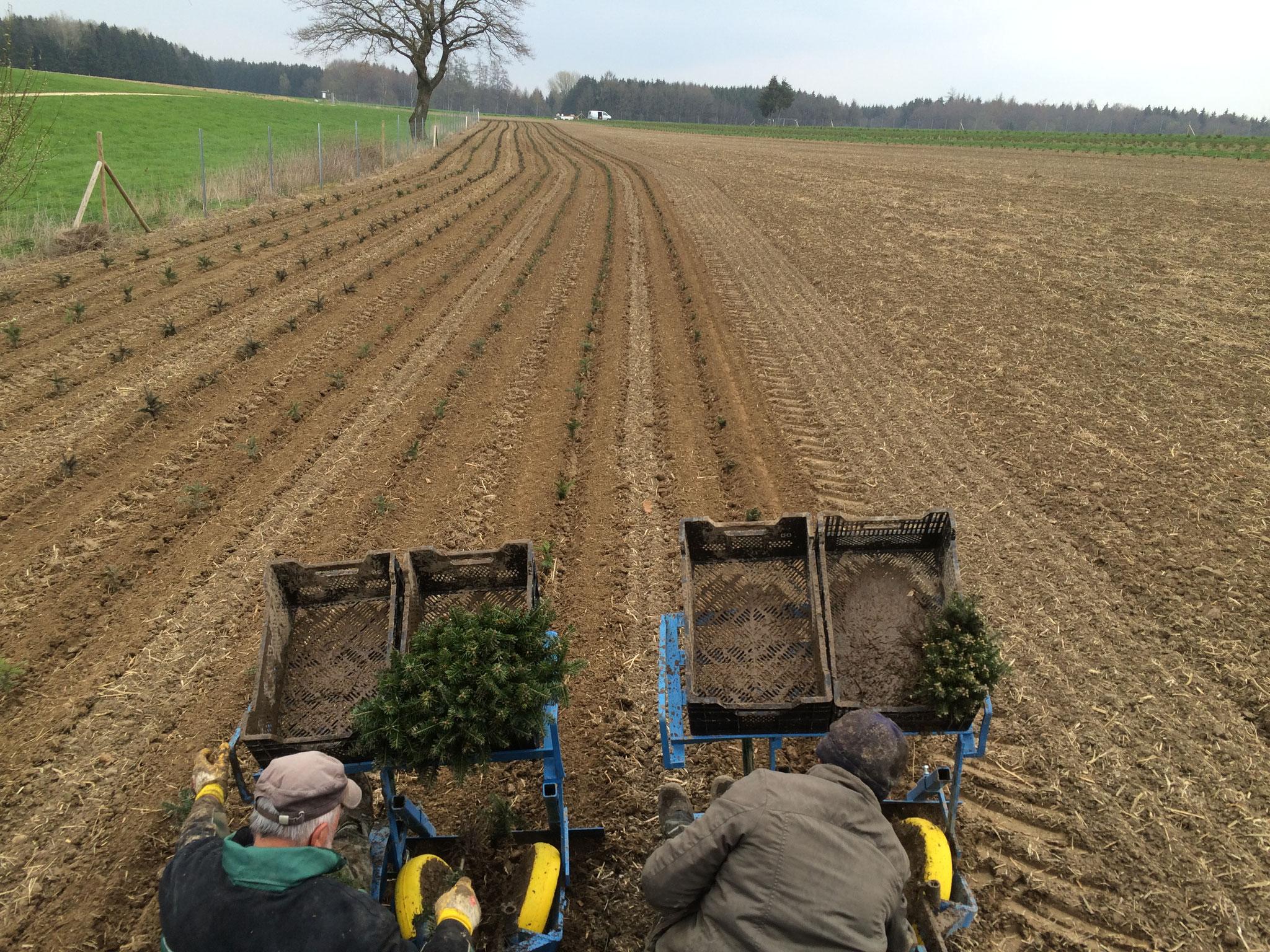 Maschinelle Pflanzung