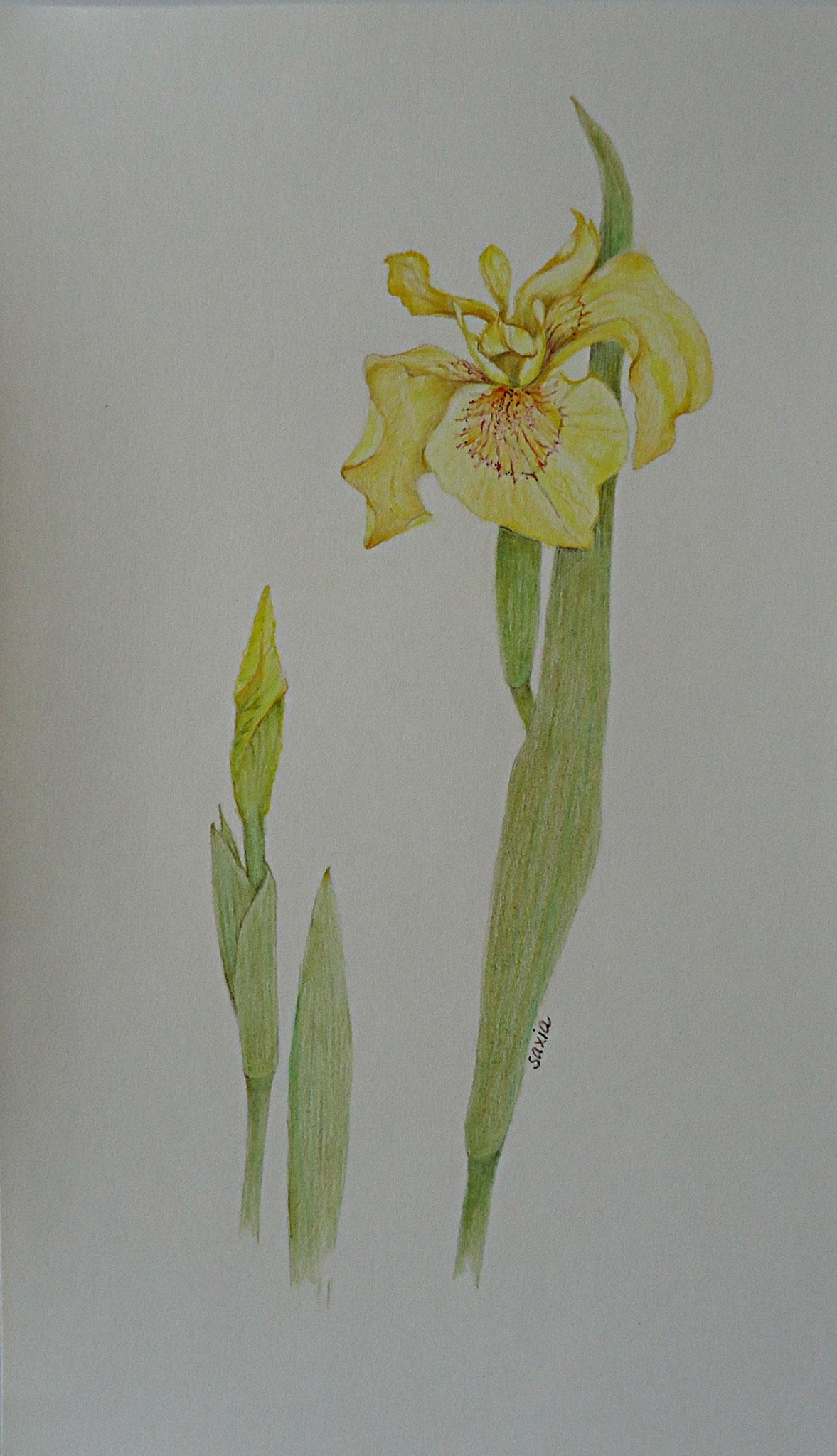 Wilde Iris, Zeichnung Farbstift 14 x 23 cm