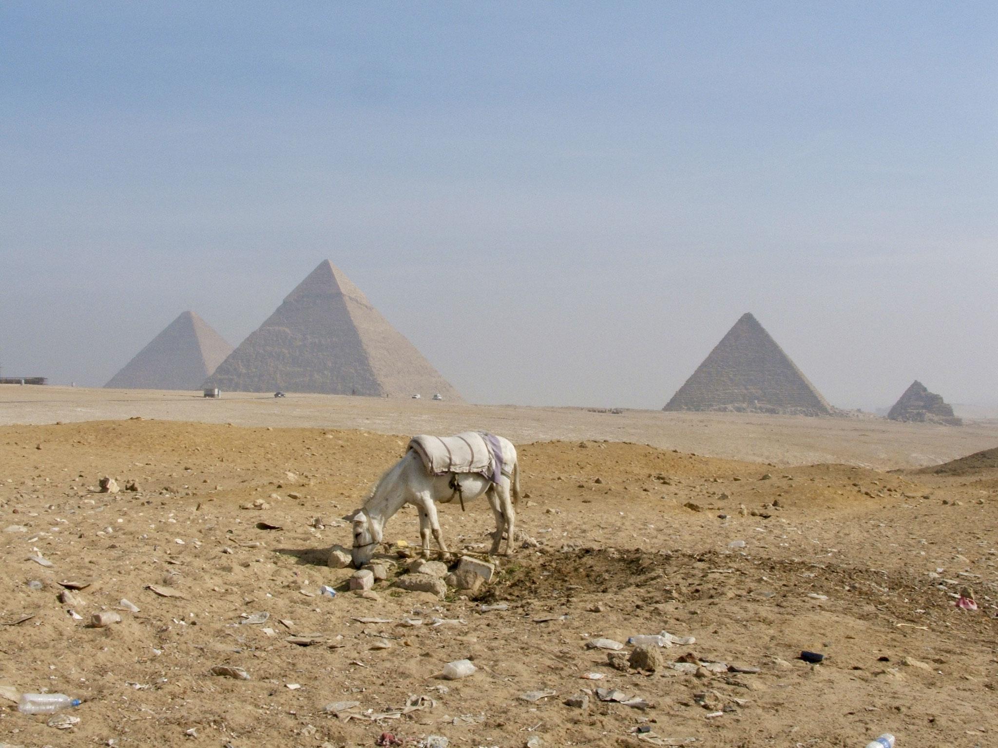 Tethered grazing goat-slim pickings, Giza