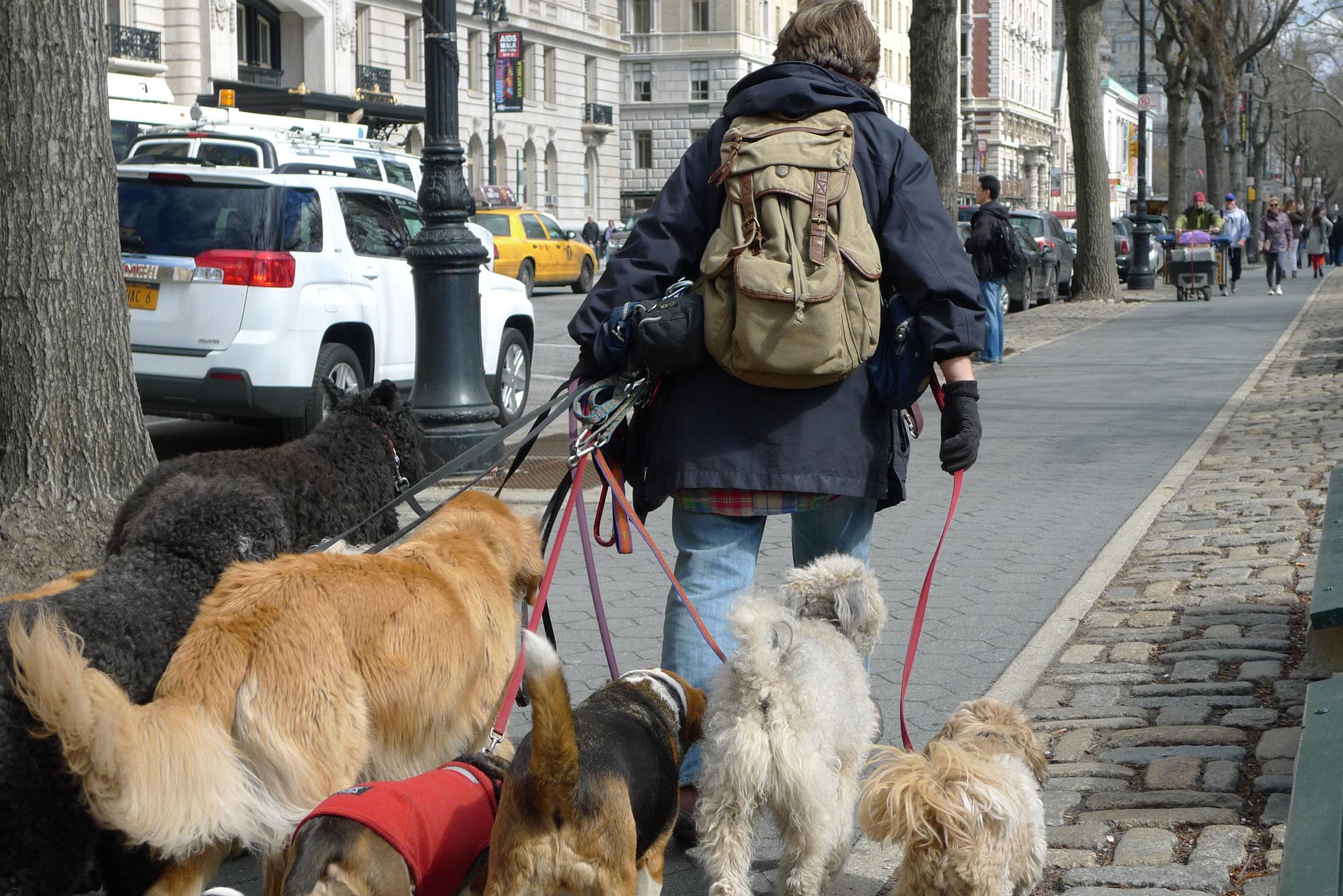 Dog walker, Central Park west, NYC
