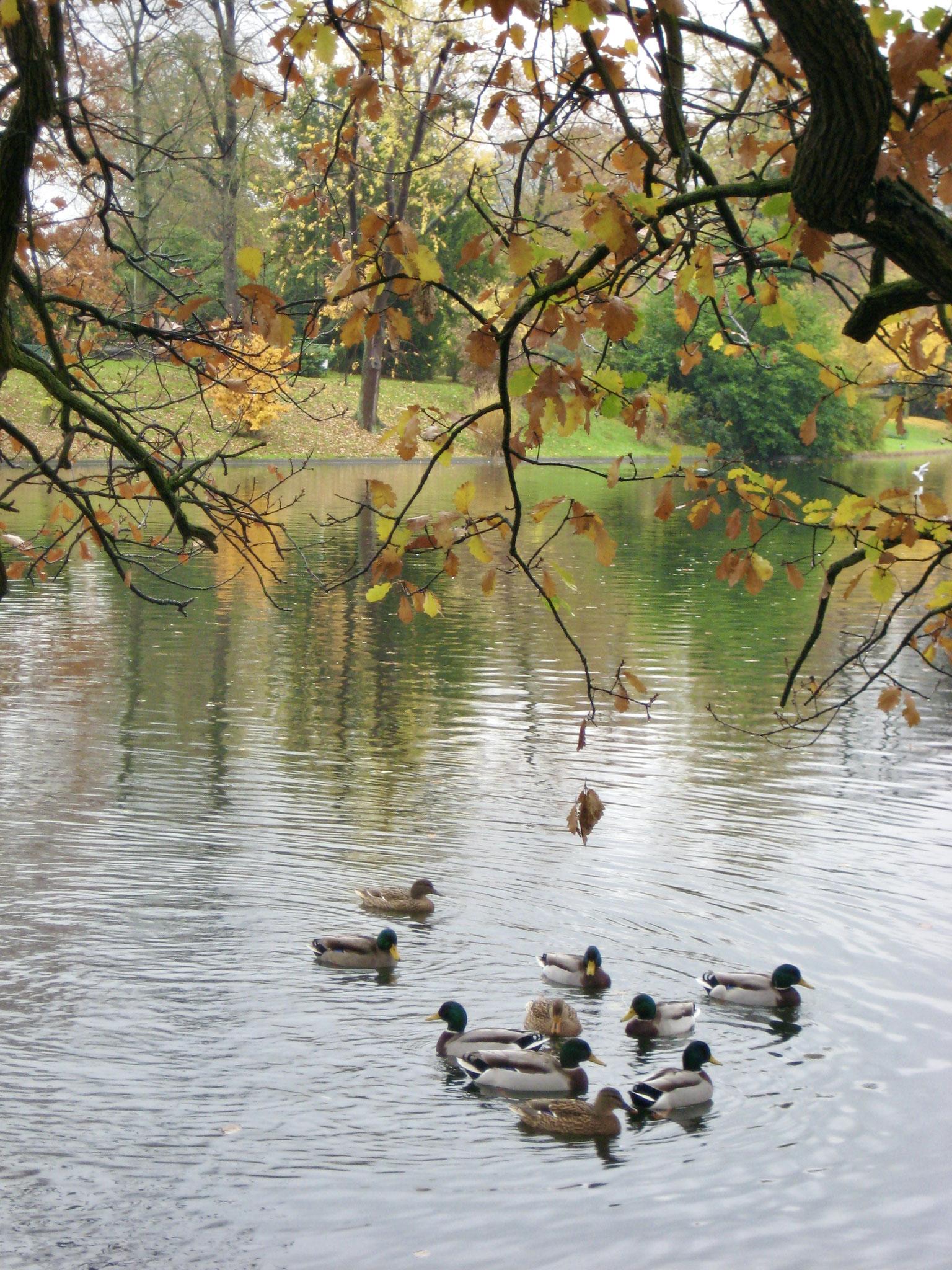 Bois de Bologne canard et cane, Paris