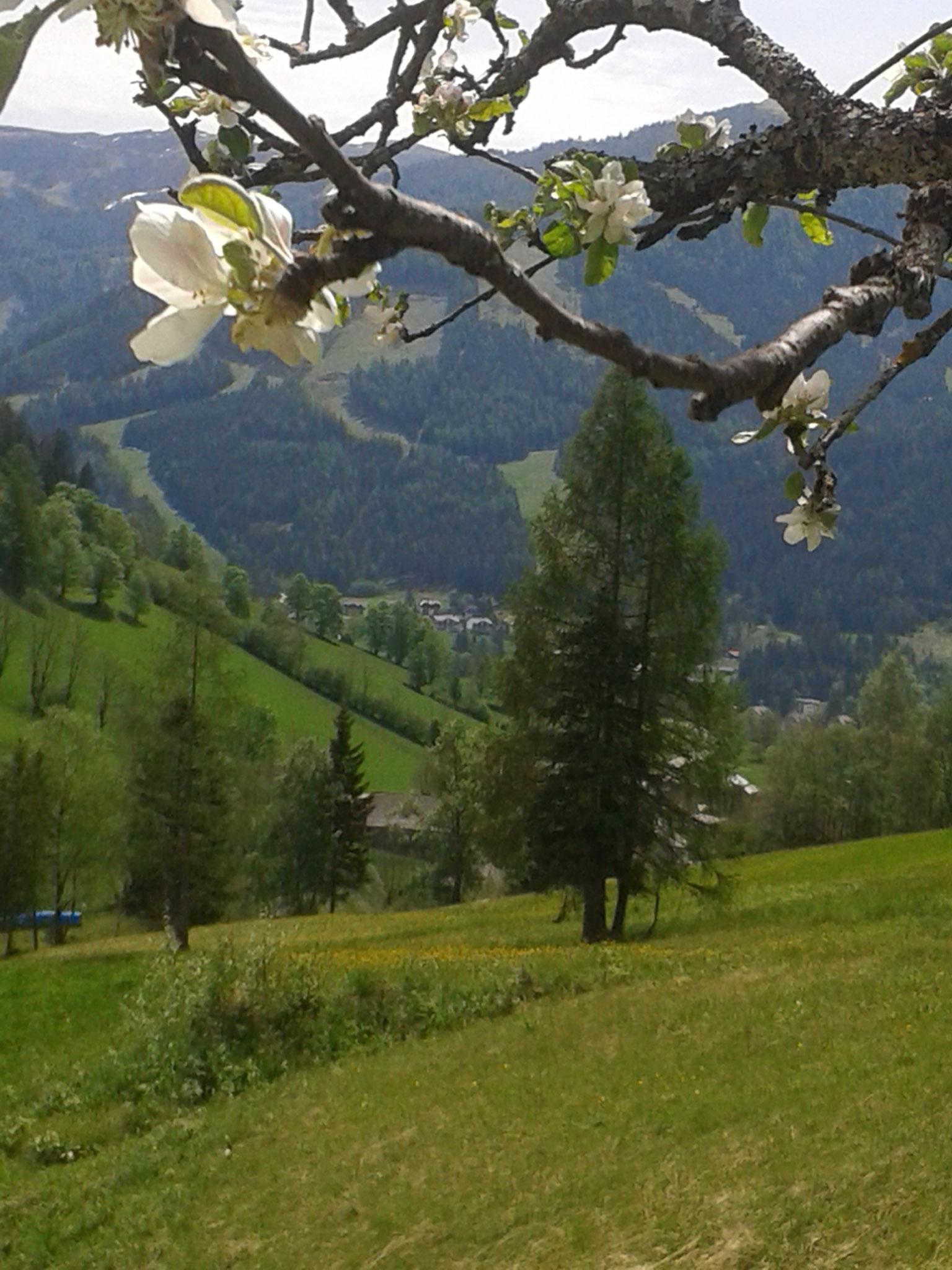 Apfelblüte  auf der Alm