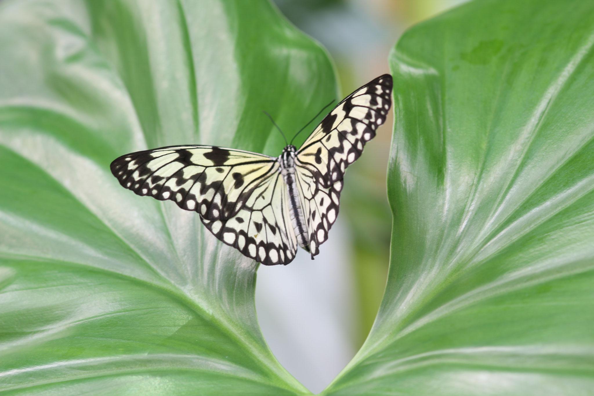 """Isolde Jackl - """"Schmetterling"""" - 16 Pkt."""
