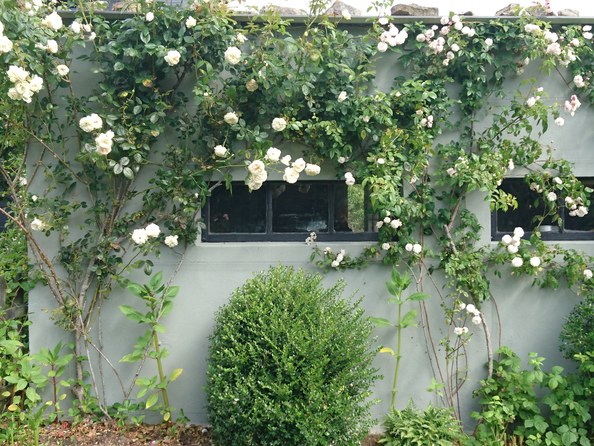 Roses blanches au jardin