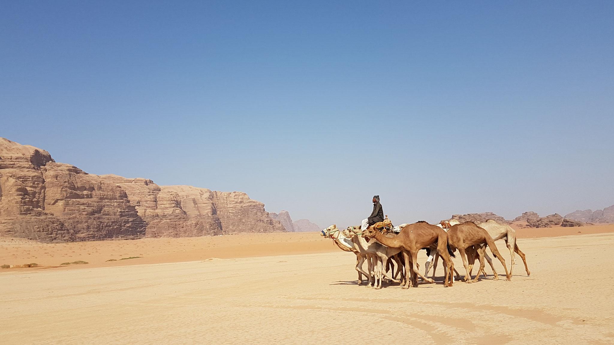 Ein Beduine bringt nach dem morgendlichen Rennen seine Kamele heim