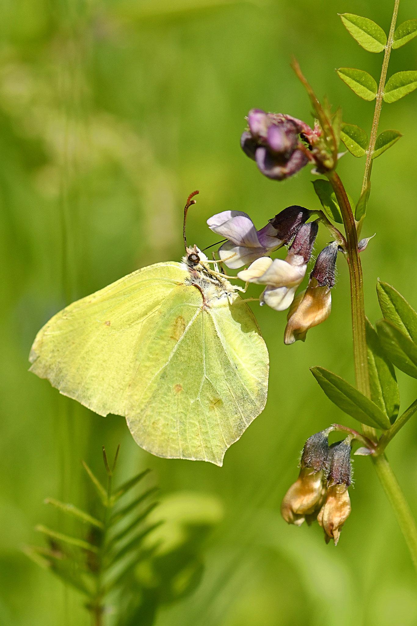 Mai 2018 ~ Un papillon nommé Citron