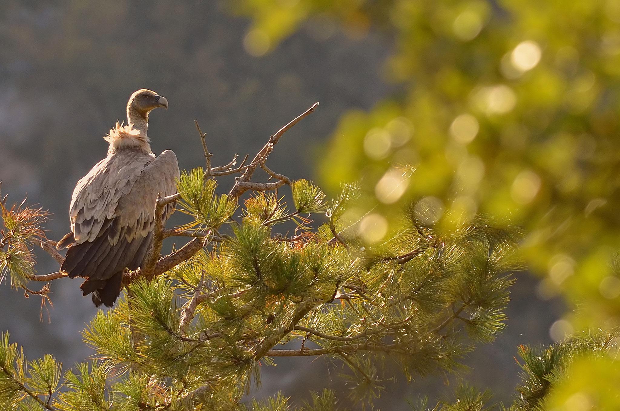 Octobre 2012 ~ Vautour fauve sur un pin