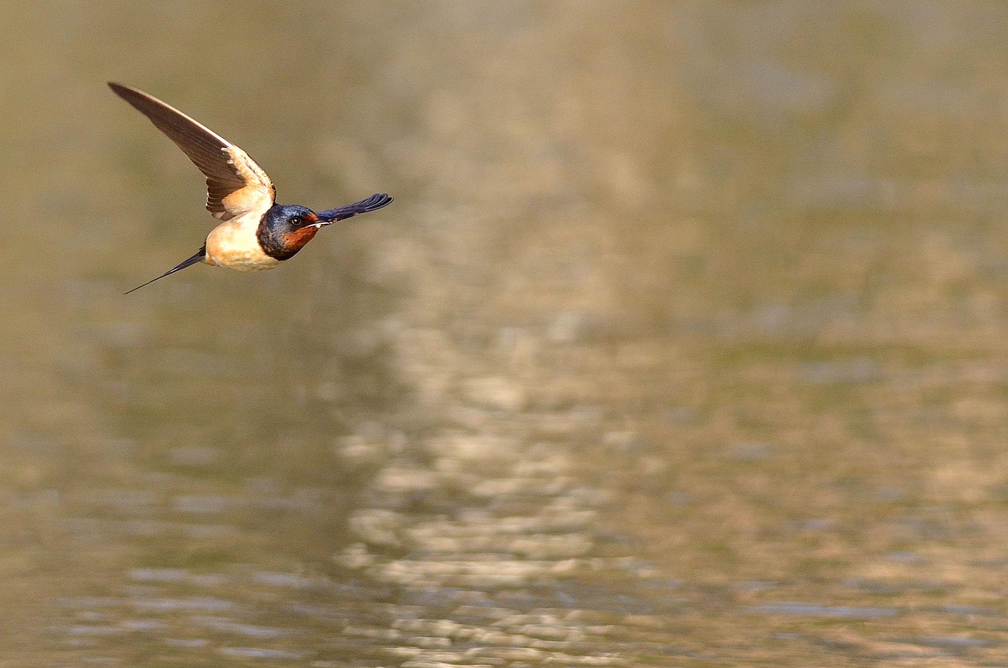 Avril 2013 ~ Hirondelle rustique volant au ras de l'eau