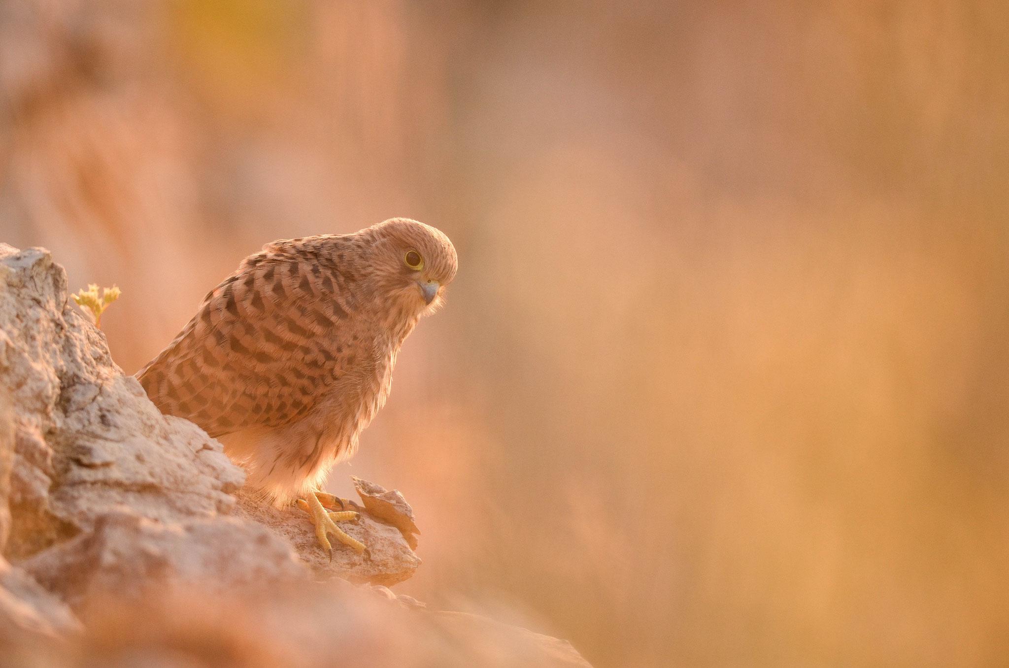Juillet 2013 ~ Jeune faucon crécerelle