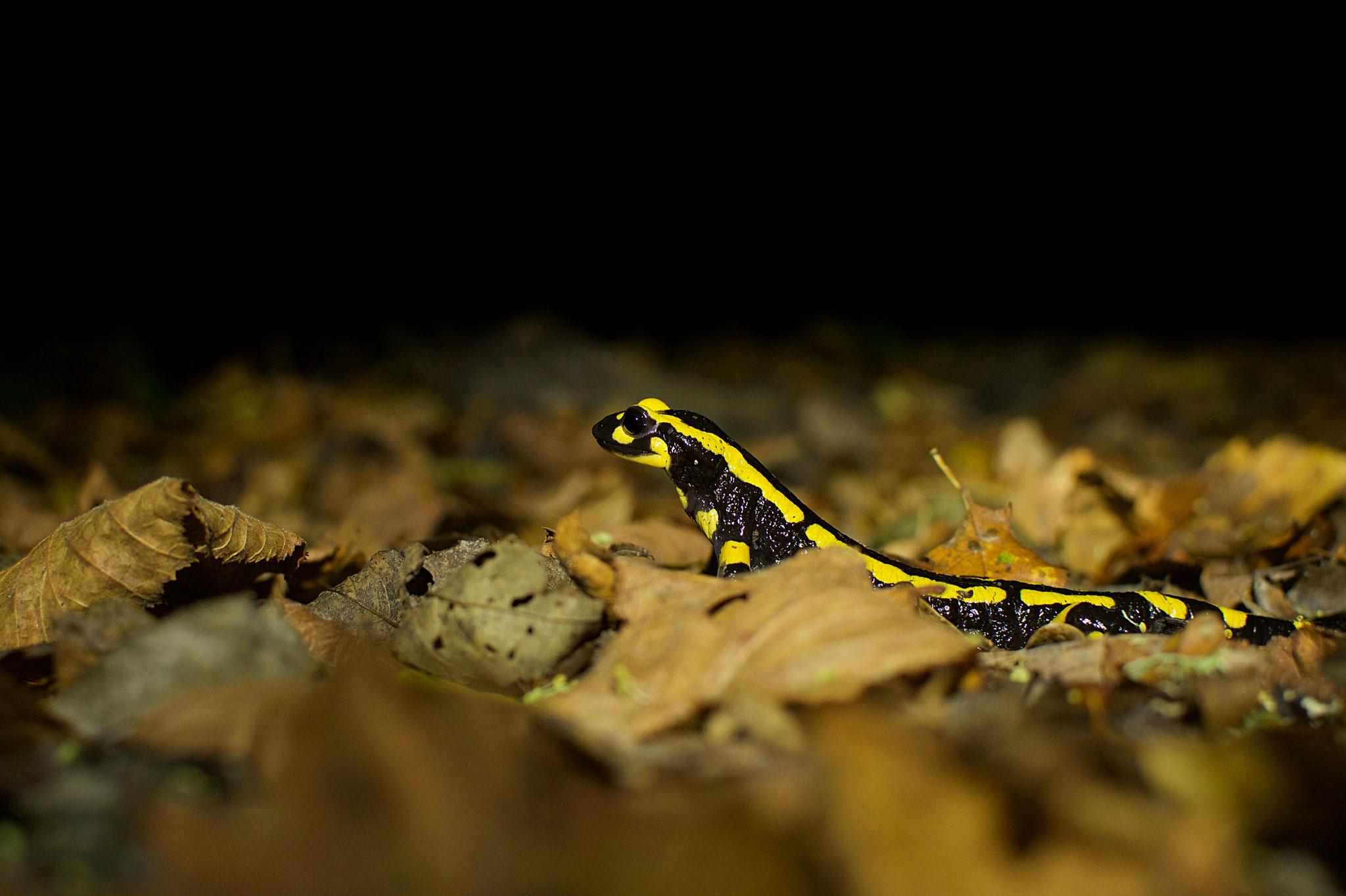 Octobre 2017 ~ Salamandre tachetée