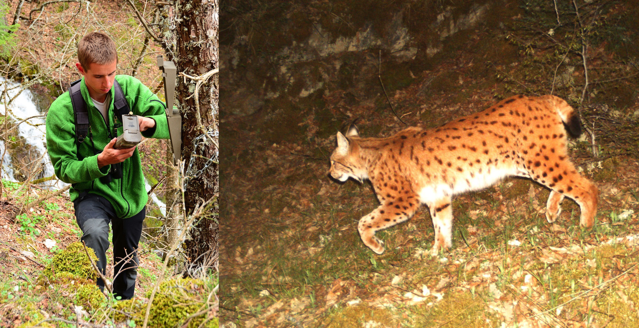 2015 : Suivi du Lynx par piège photographique (photo Lynx : Macedonian Ecological Society)