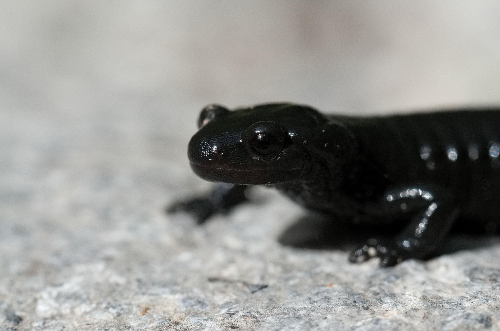 Juillet 2014 ~ Salamandre noire