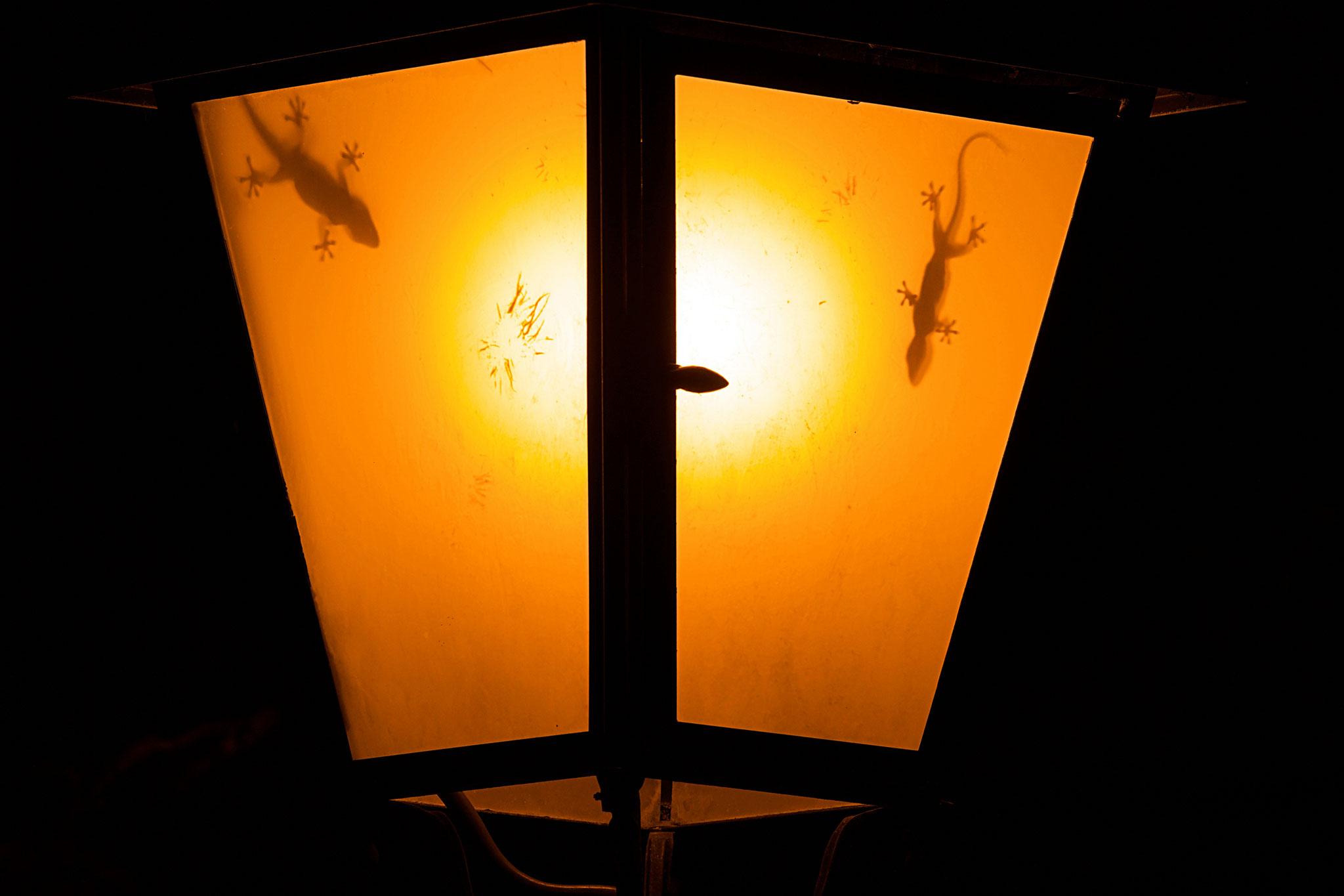 Septembre 2017 ~ Tarentes dans un lampadaire, à l'affût d'insectes attirés par la lumière.