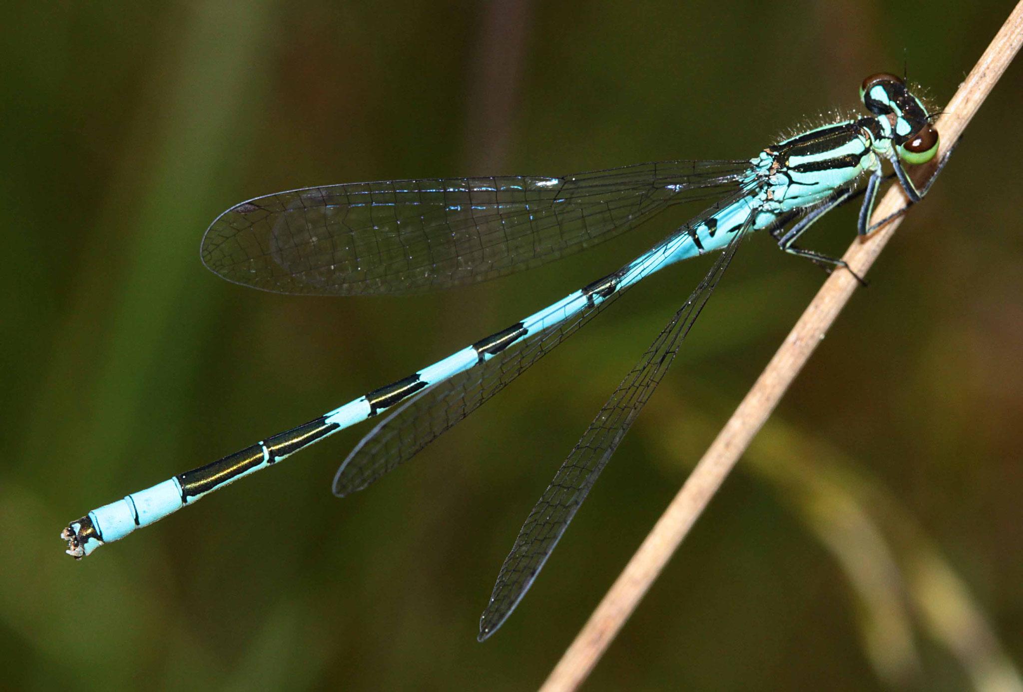 Speer-Azurjungfer, Coenagrion hastulatum, Männchen.