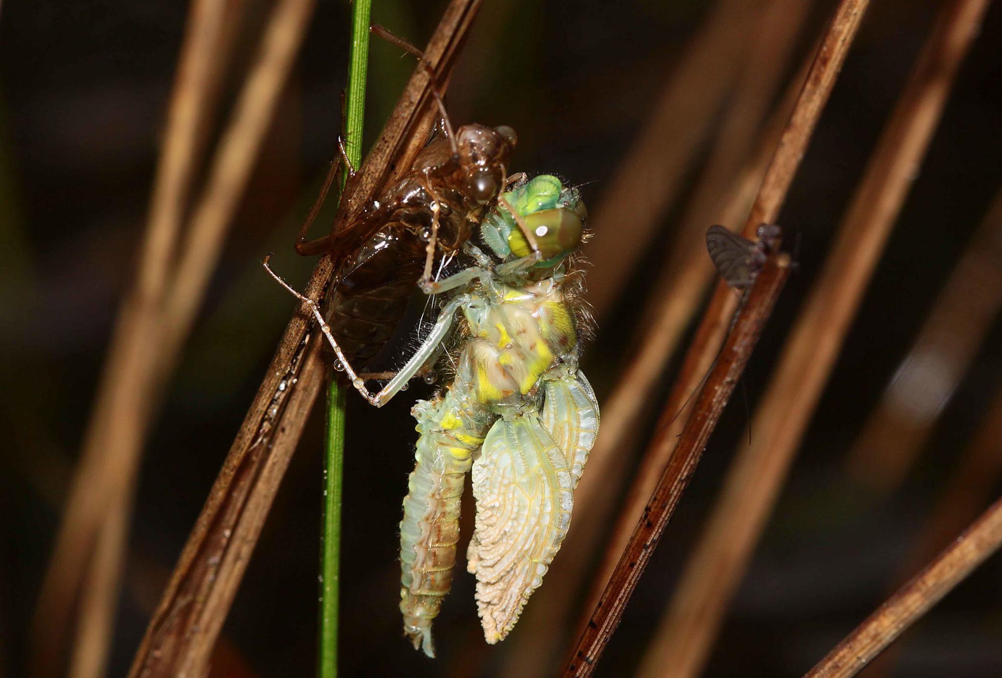 Nach dem Ausstieg aus der leeren Larvenhaut, der Exuvie, werden Leib und Flügel aufgepumpt.