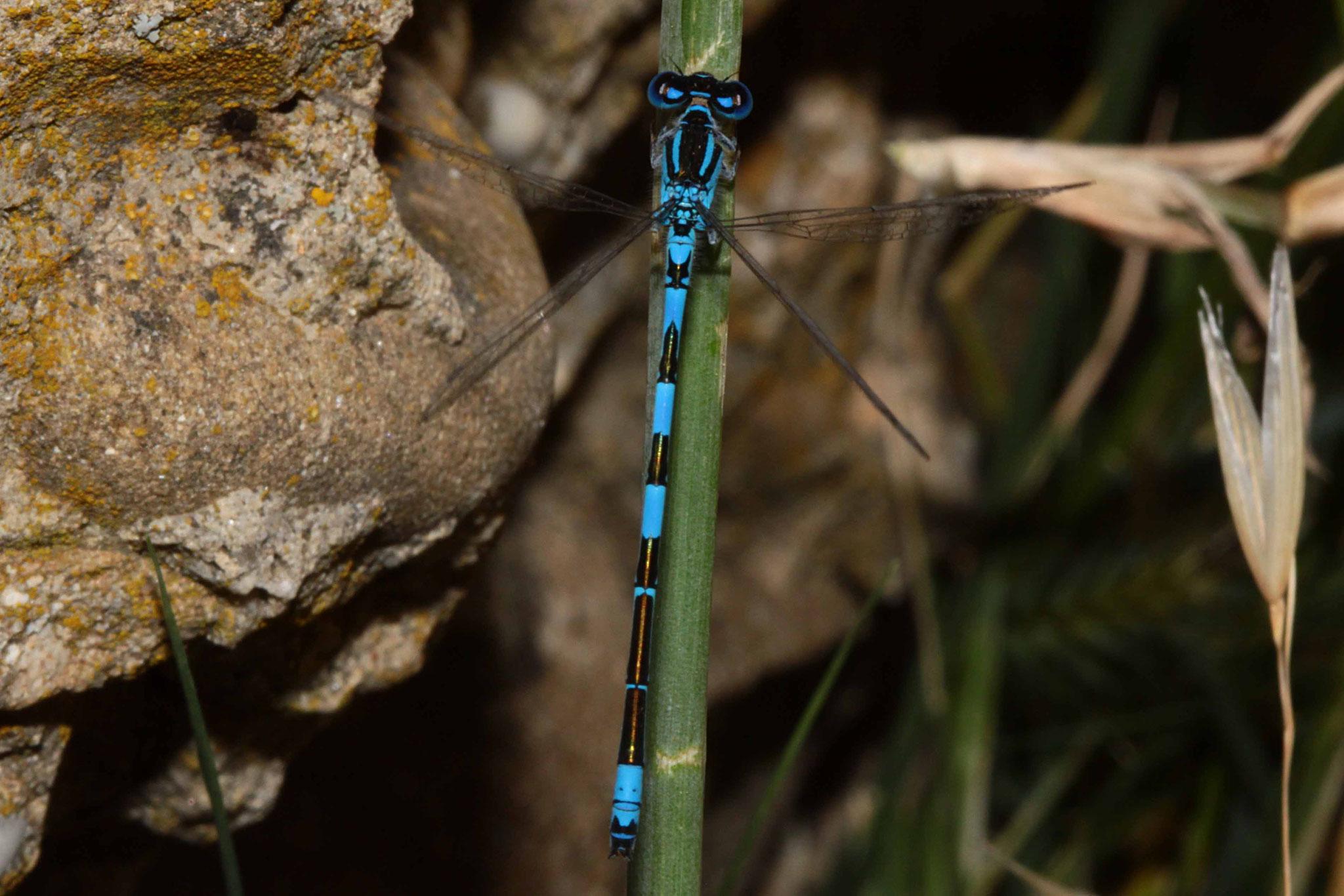 Südliche Azurjungfer, Coenagrion caerulescens, Männchen, (Südfrankreich).
