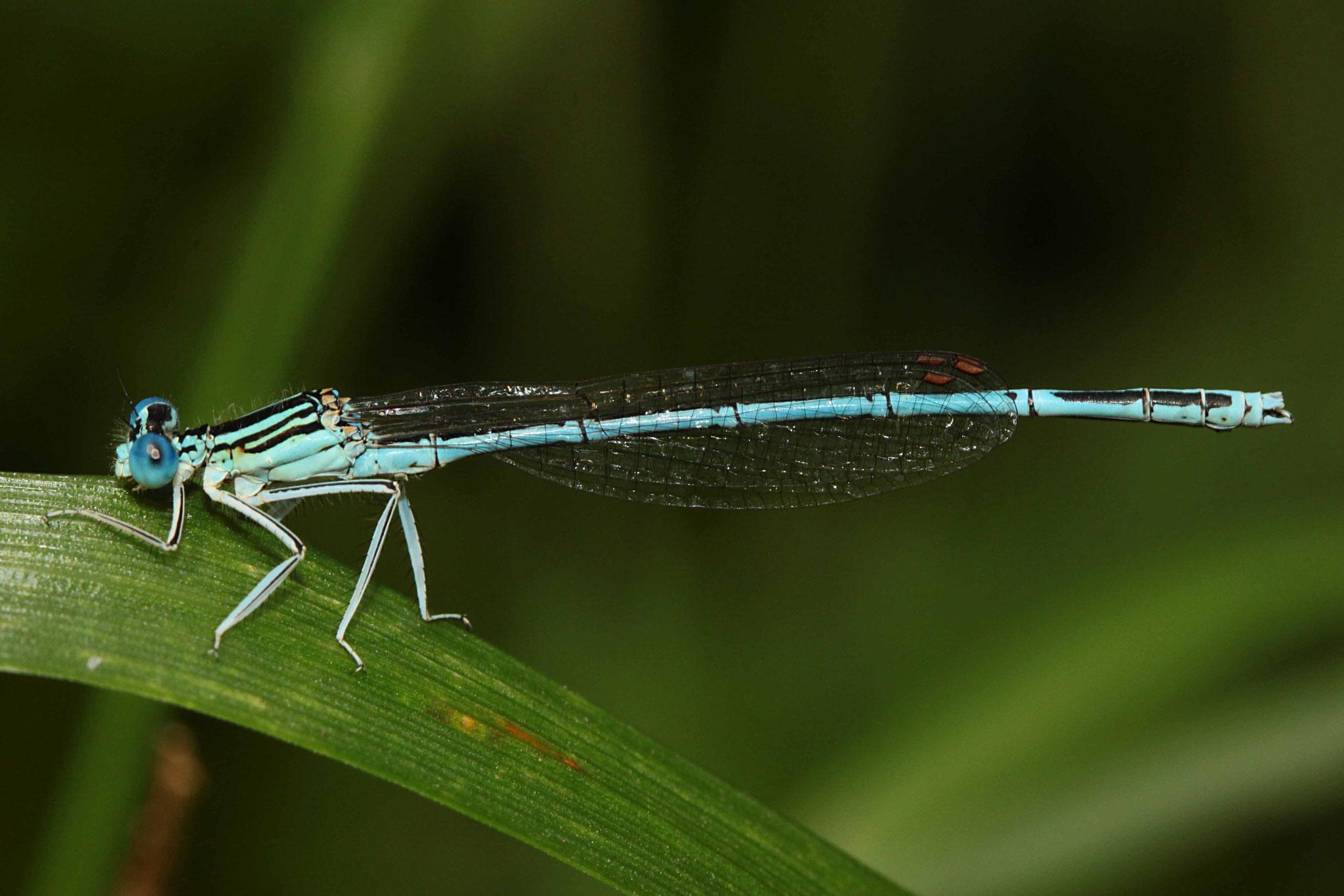 Blaue Federlibelle, Platycnemis pennipes, Männchen.