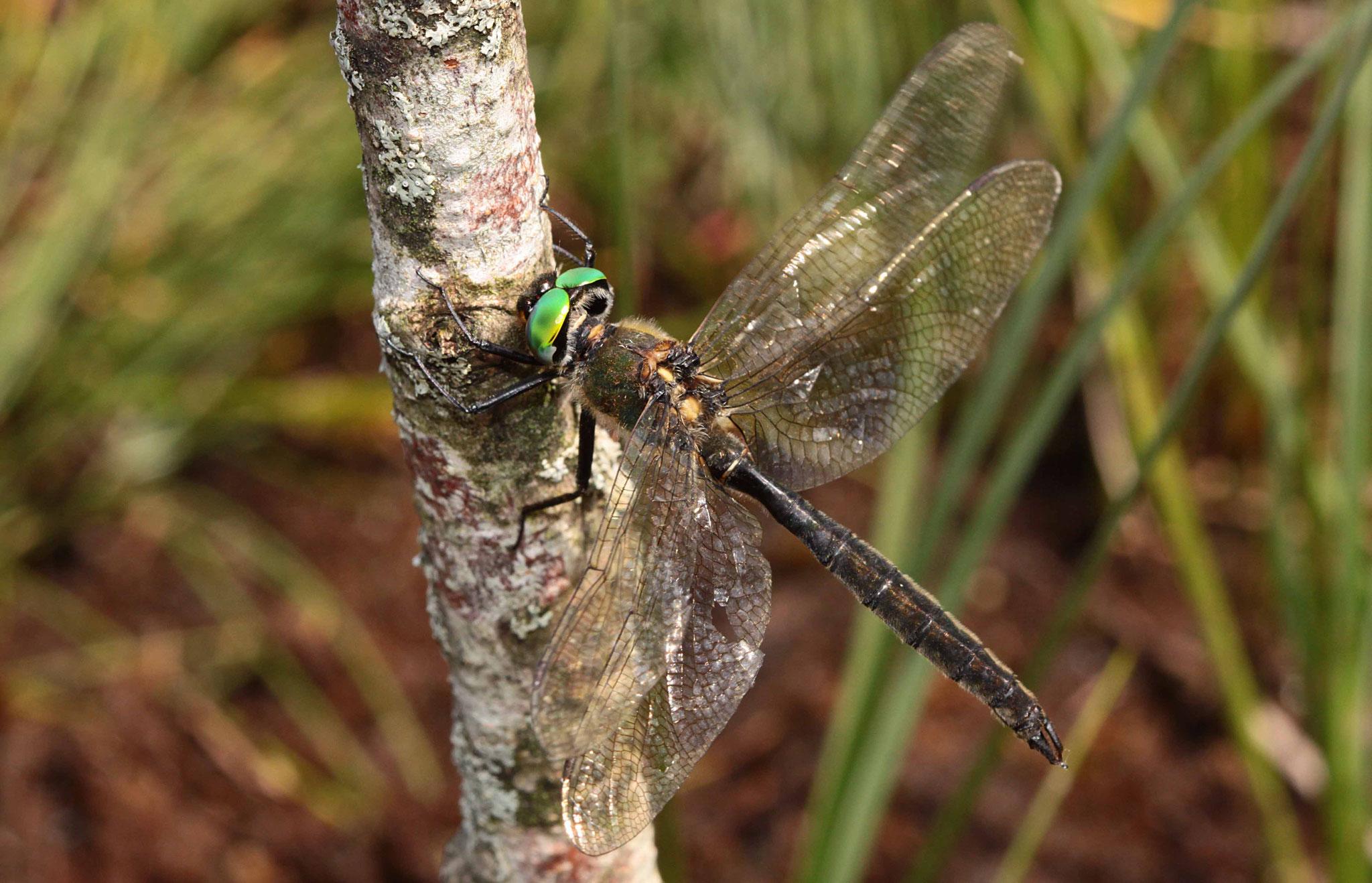 Alpen-Smaragdlibelle, Somatochlora alpestris, Männchen.