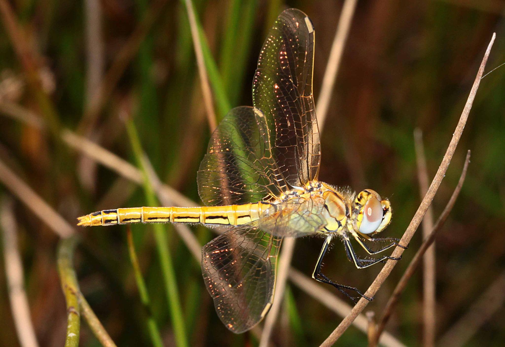 Sympetrum fonscolombii, Weibchen unmittelbar nach dem Jungfernflug.