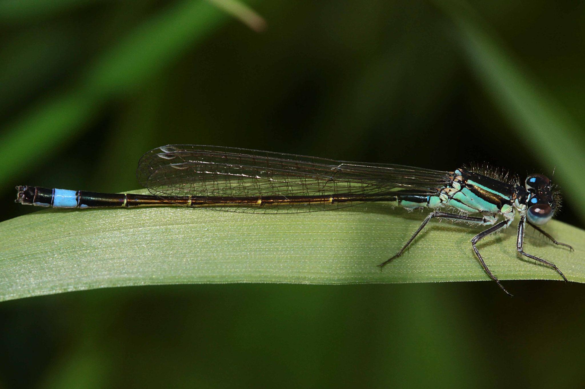 Große Pechlibelle, Ischnura elegans, Männchen.