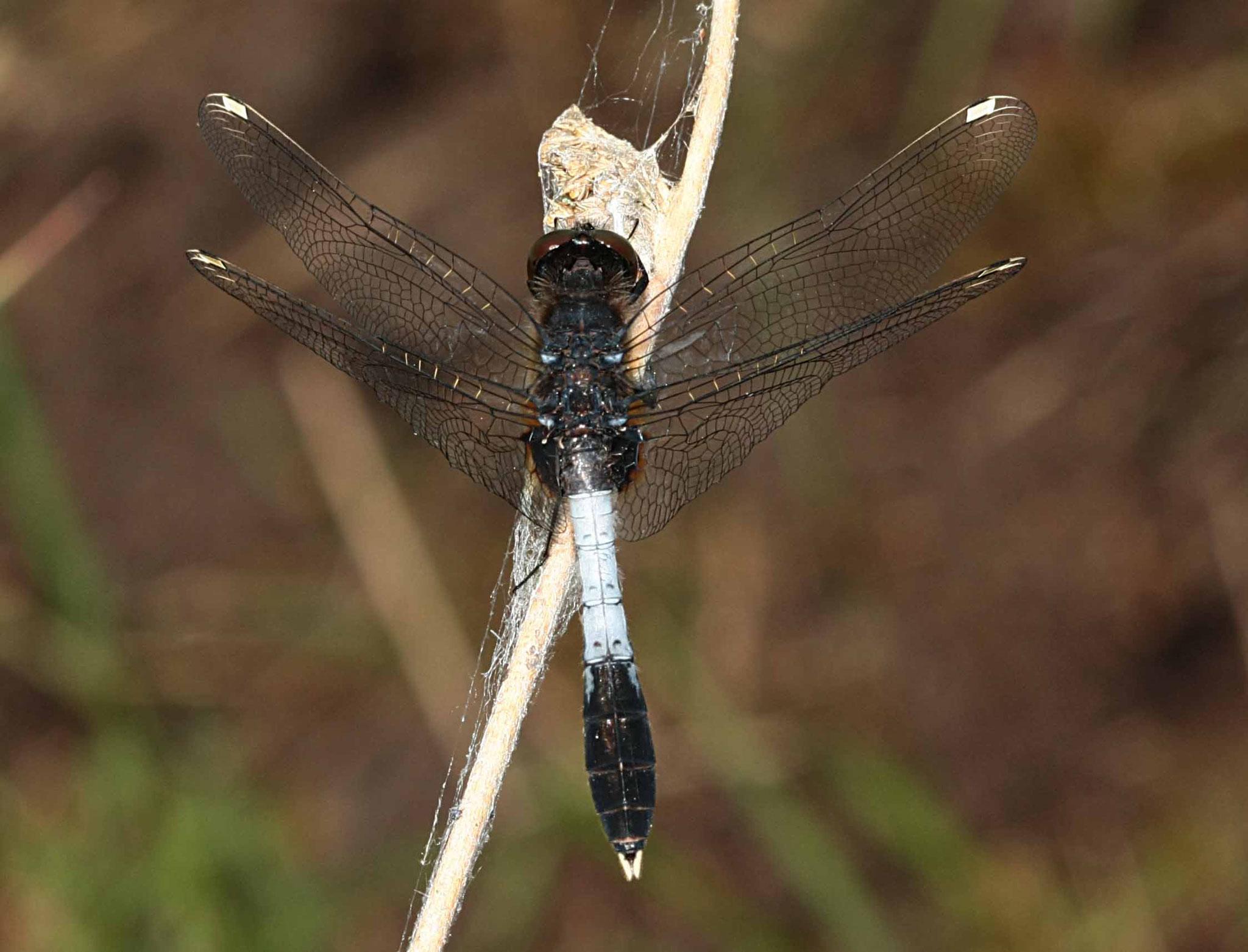 Zierliche Moosjungfer, Leucorrhinia caudalis, Männchen.