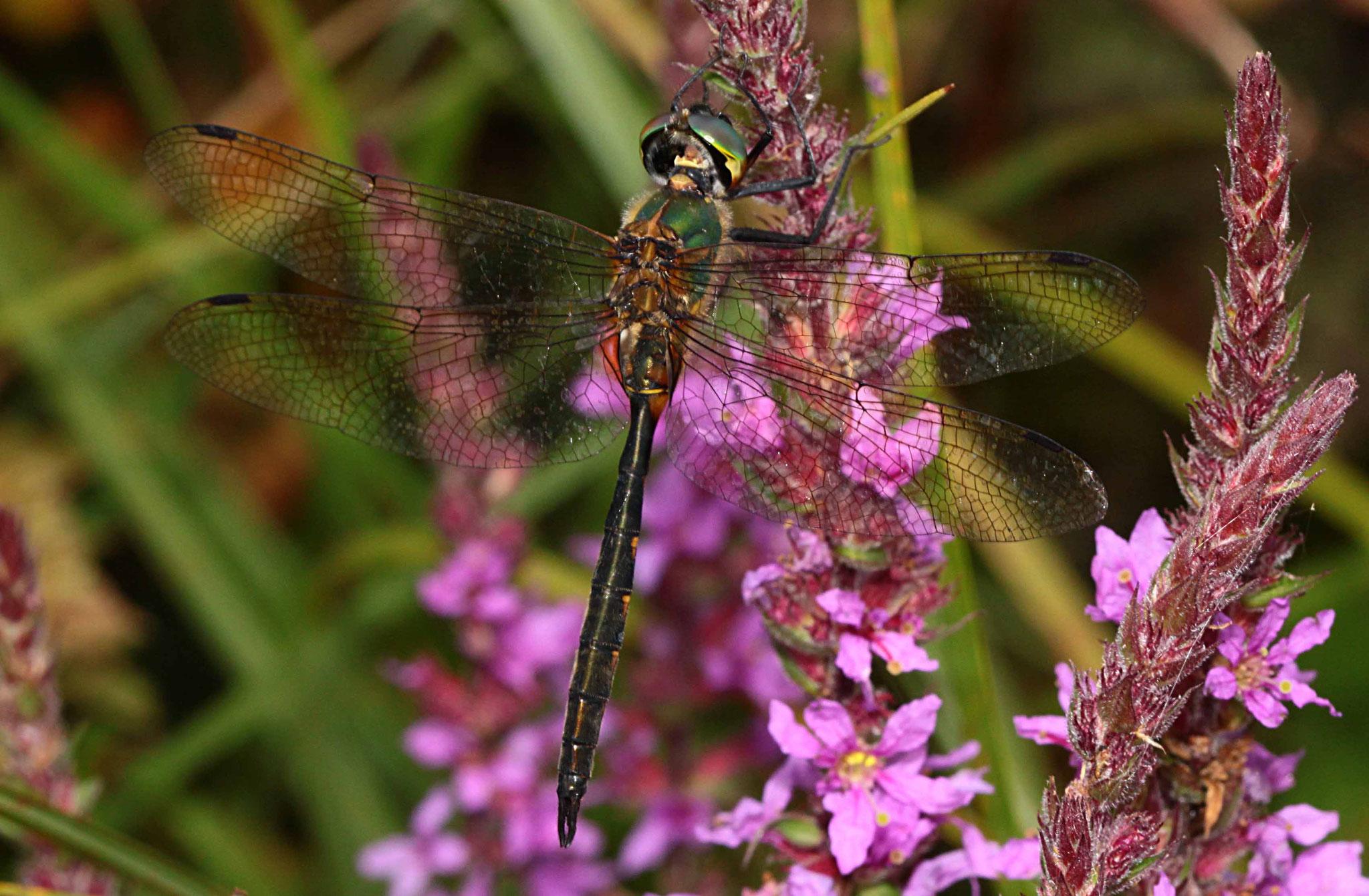 Gefleckte Smaragdlibelle, Somatochlora flavomaculata, Männchen.