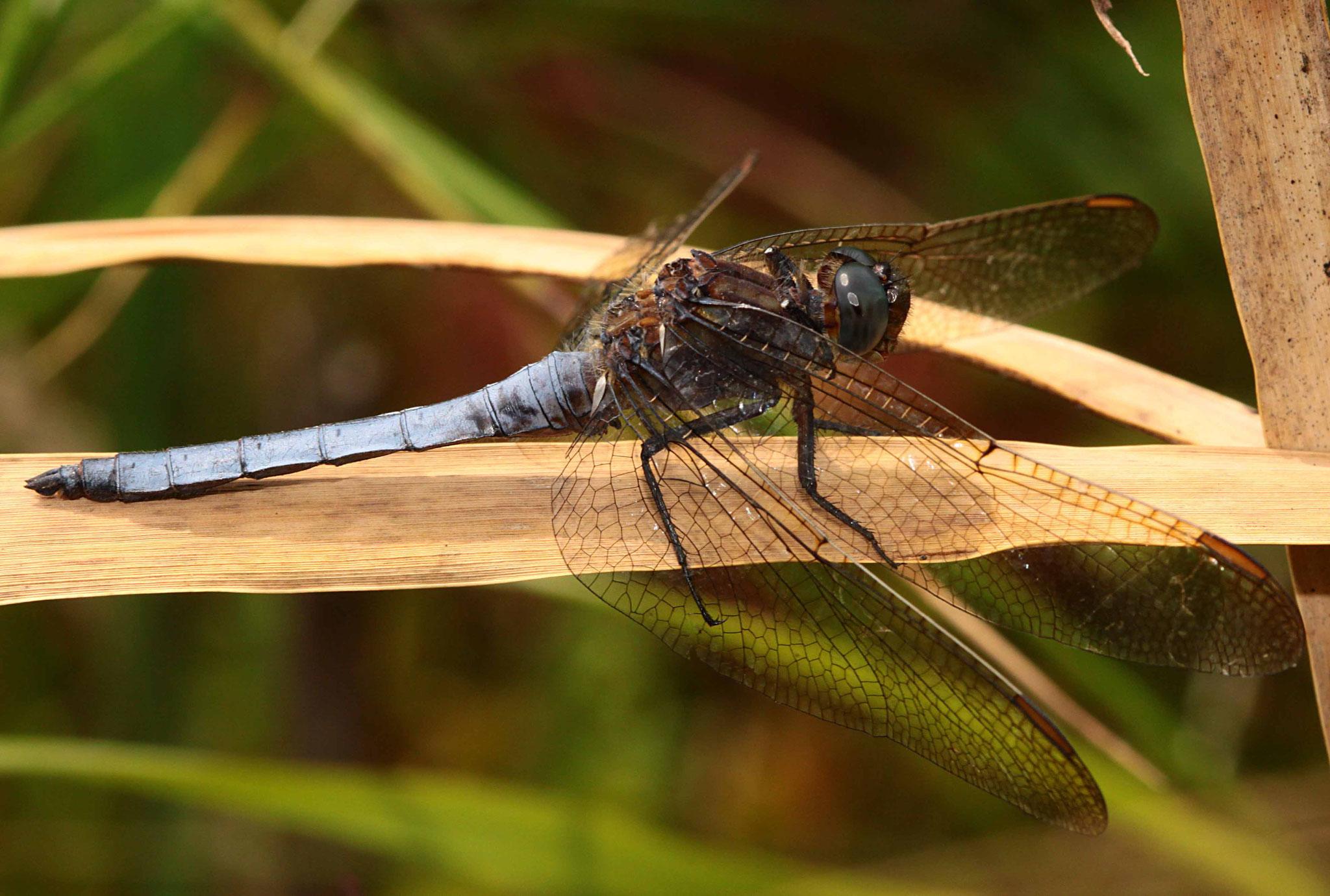 Kleiner Blaupfeil, Orthetrum coerulescens, Männchen.