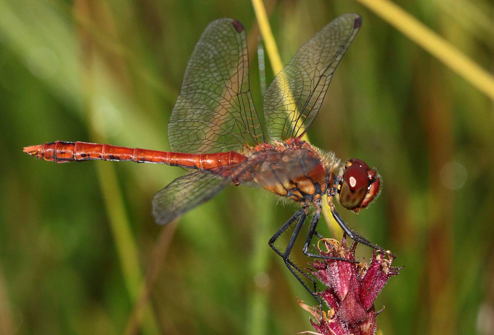 Blutrote Heidelibelle, Sympetrum sanguineum, Männchen.
