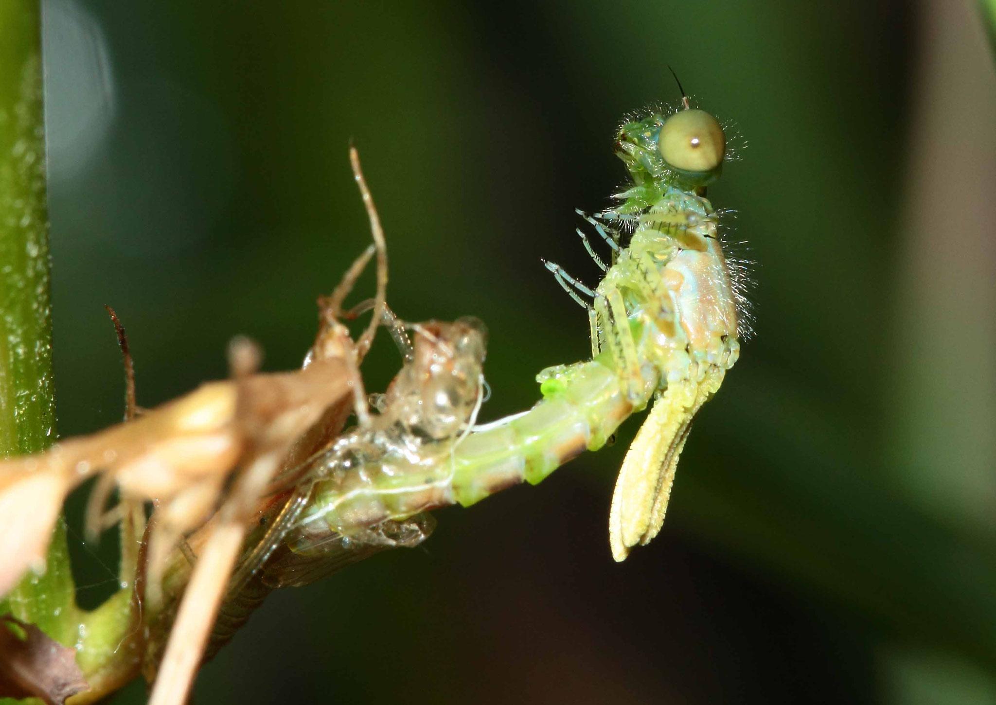 Ein Männchen des Kleinen Granatauges, Erythromma viridulum, bei der Emergenz in vertikaler Position...