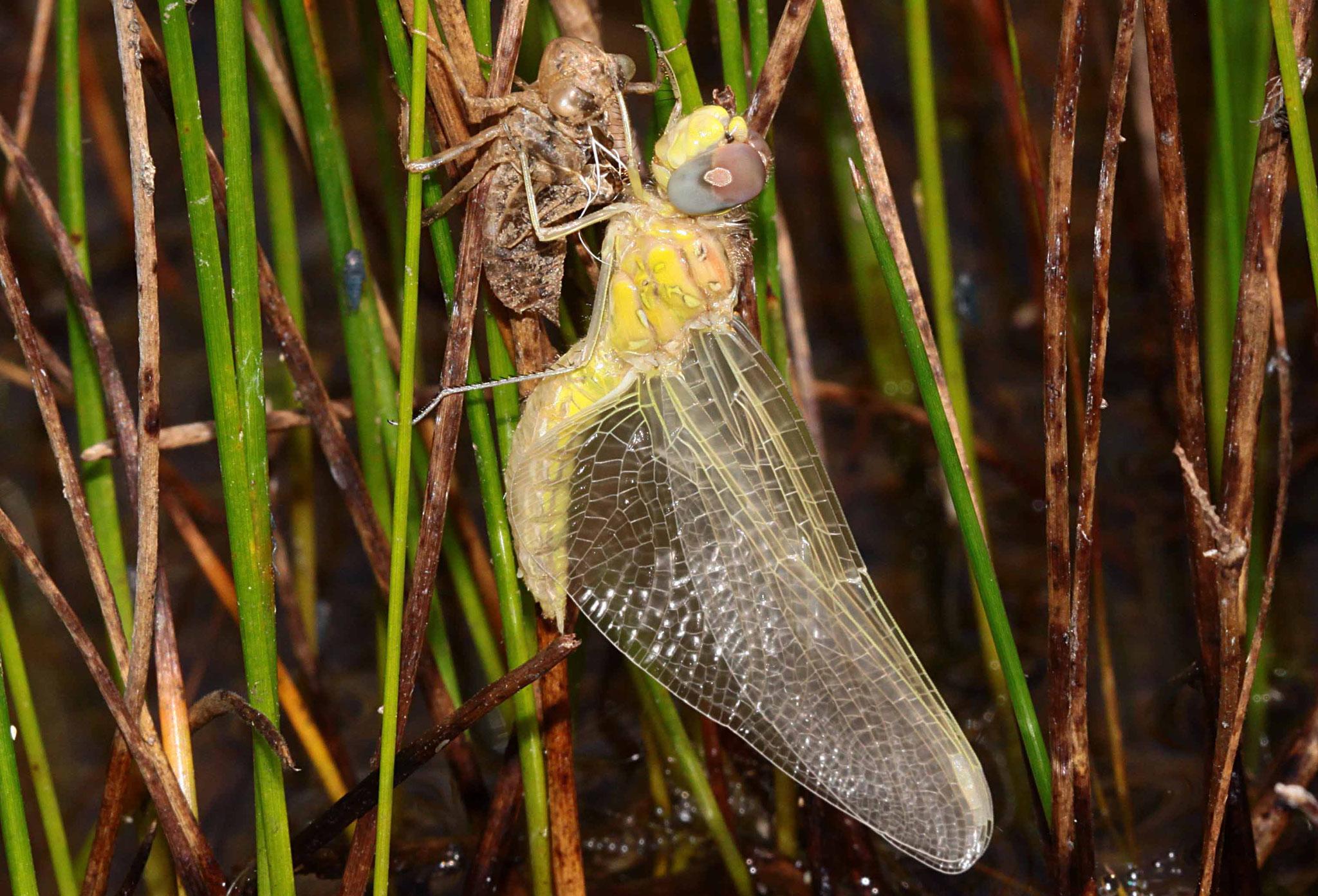 Sympetrum fonscolombii, Weibchen beim Schlupf (2).