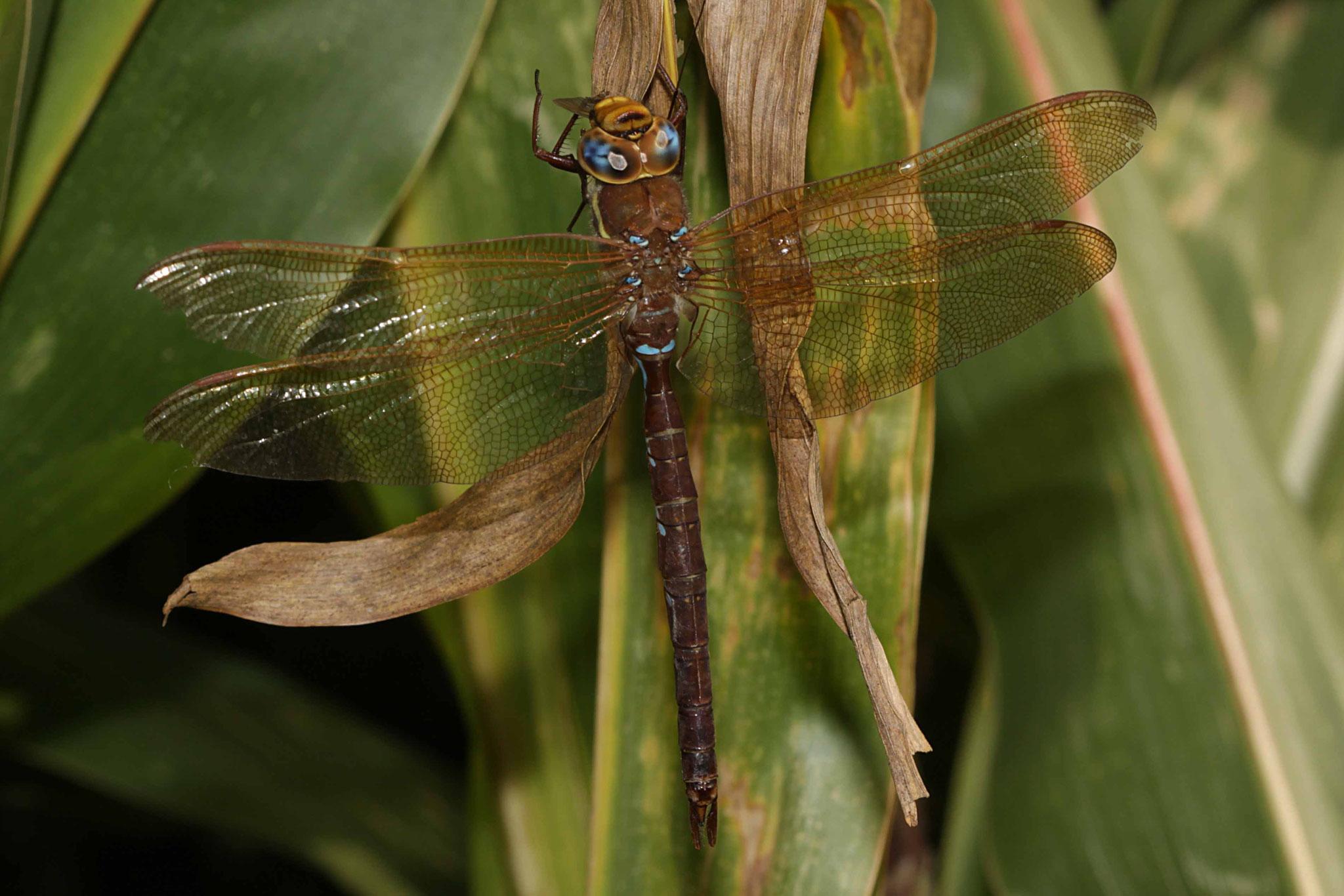 Braune Mosaikjungfer, Aeshna grandis, Männchen.
