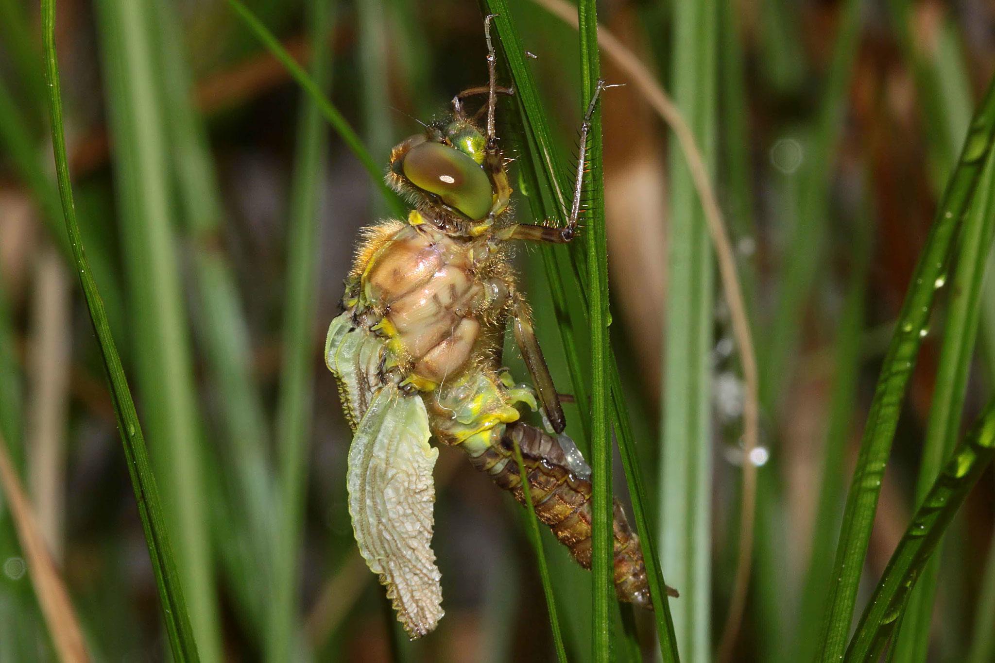 ...sowie das Aufpumpen von Körper und Flügeln mit Hämolymphe.