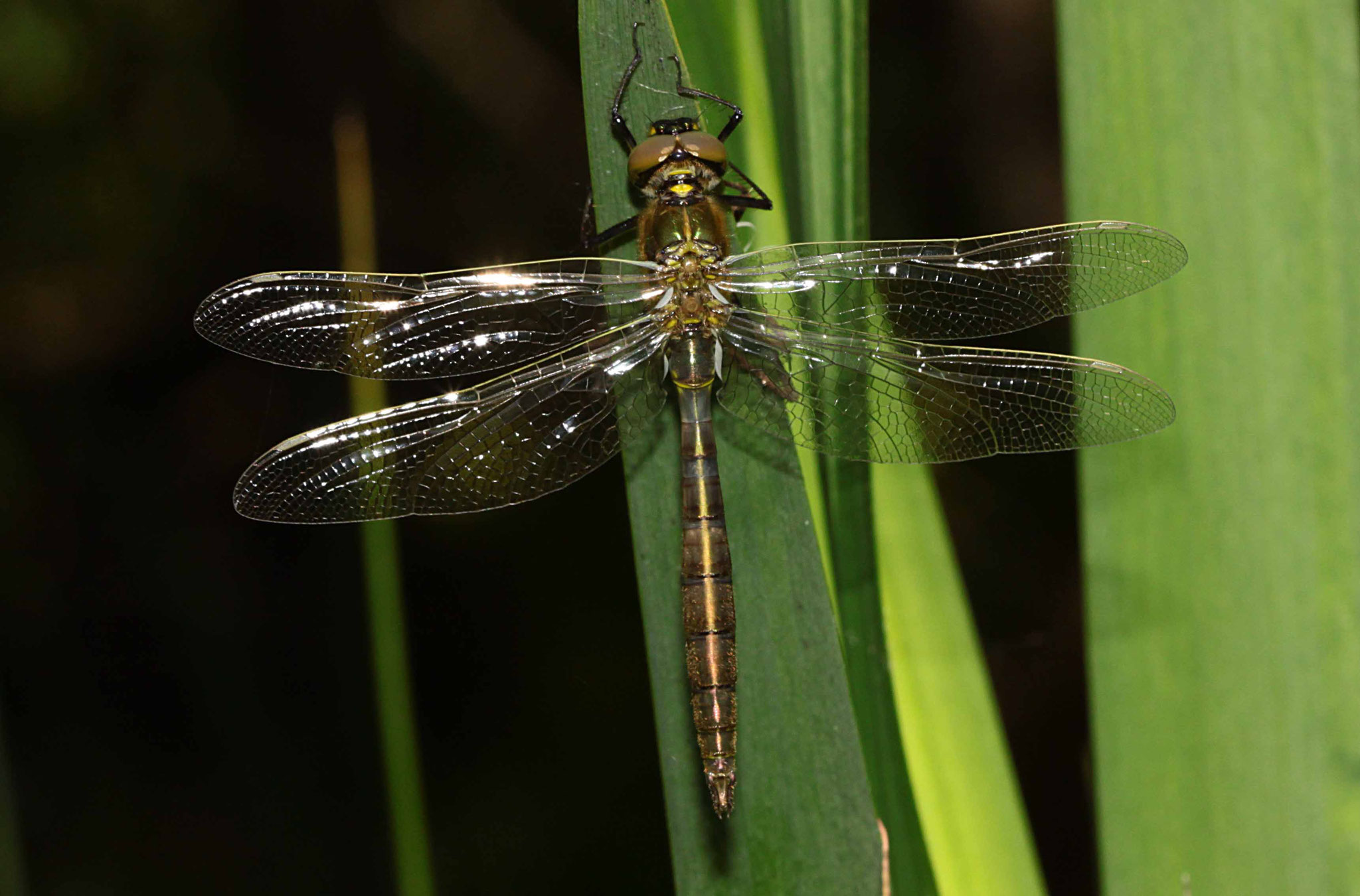 Glänzende Smaragdlibelle, Somatochlora metallica, junges Männchen.
