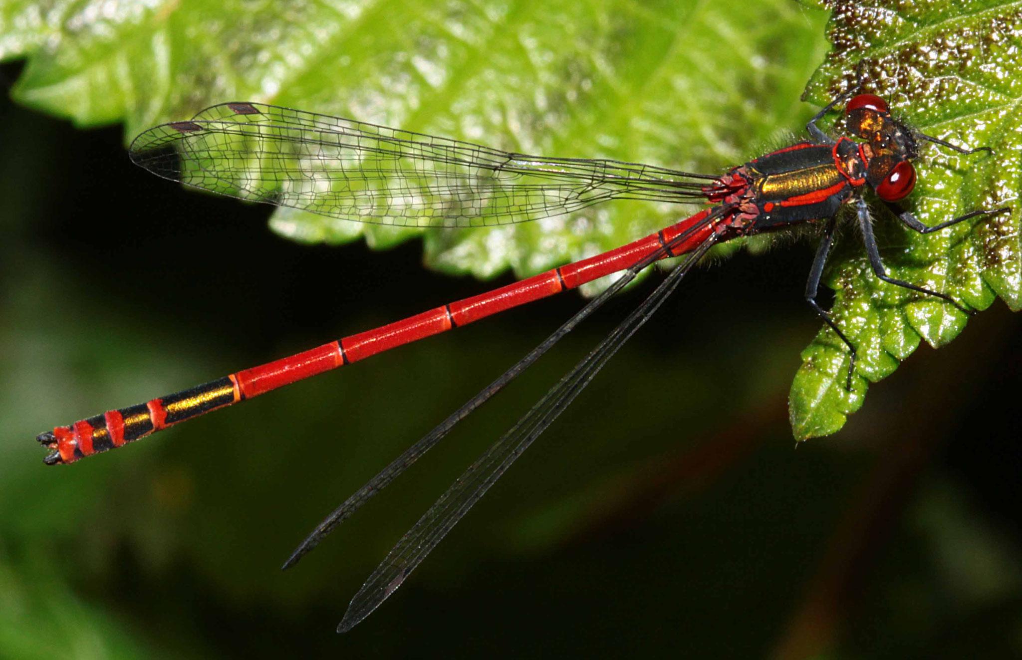 Frühe Adonislibelle, Pyrrhosoma nymphula, Männchen.